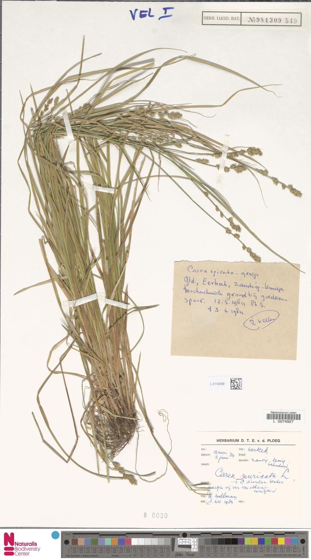 L.3118489 | Carex divulsa Stokes
