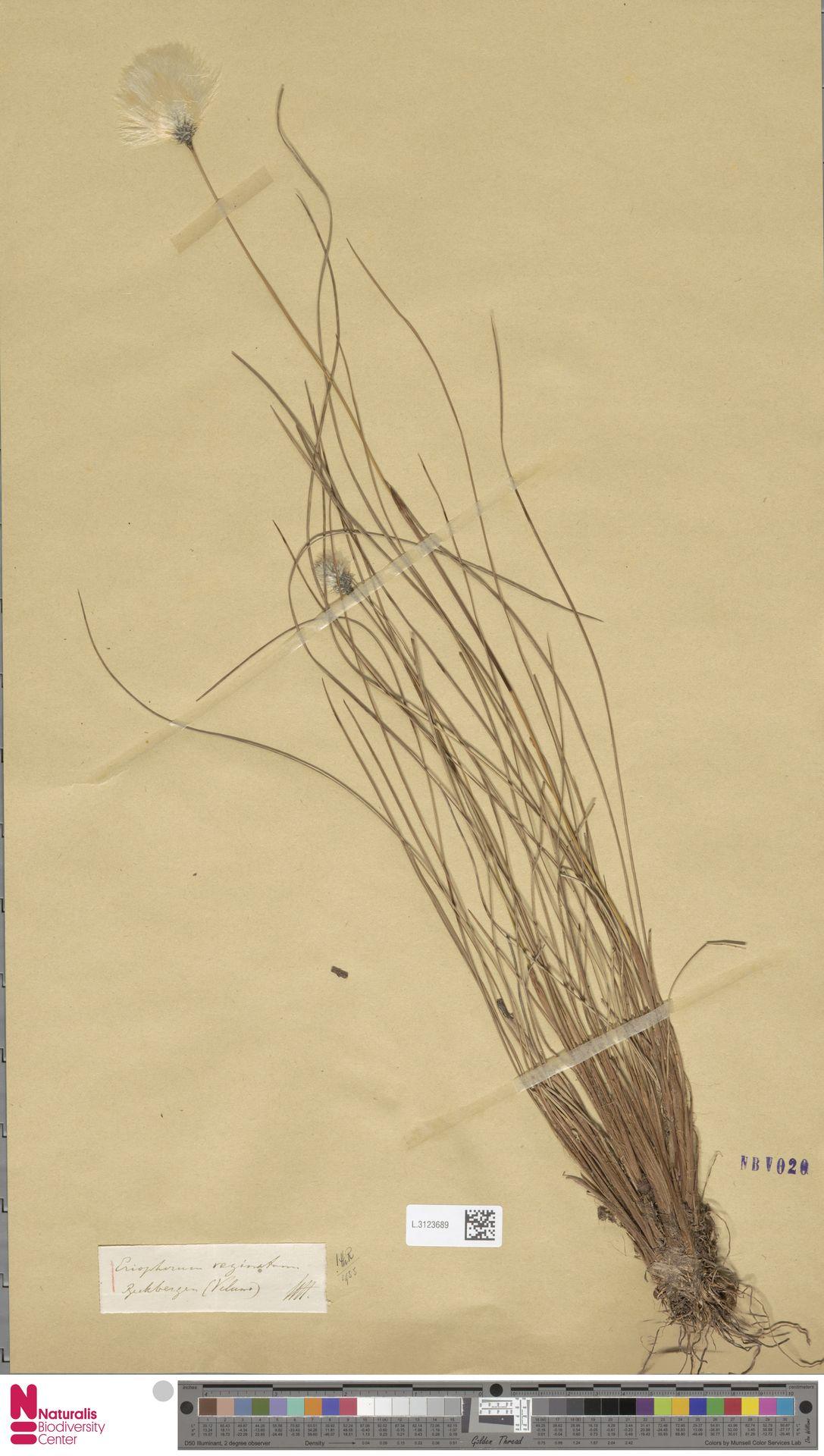 L.3123689 | Eriophorum vaginatum L.