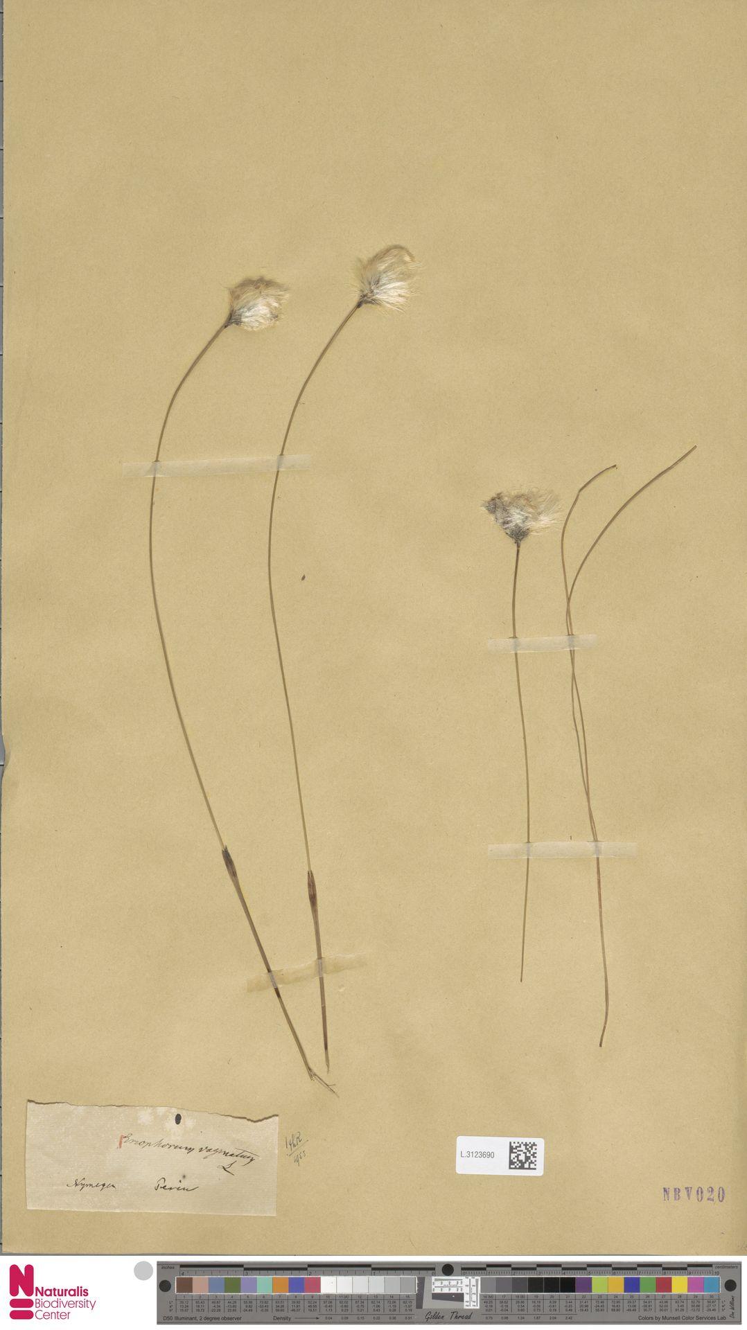L.3123690   Eriophorum vaginatum L.