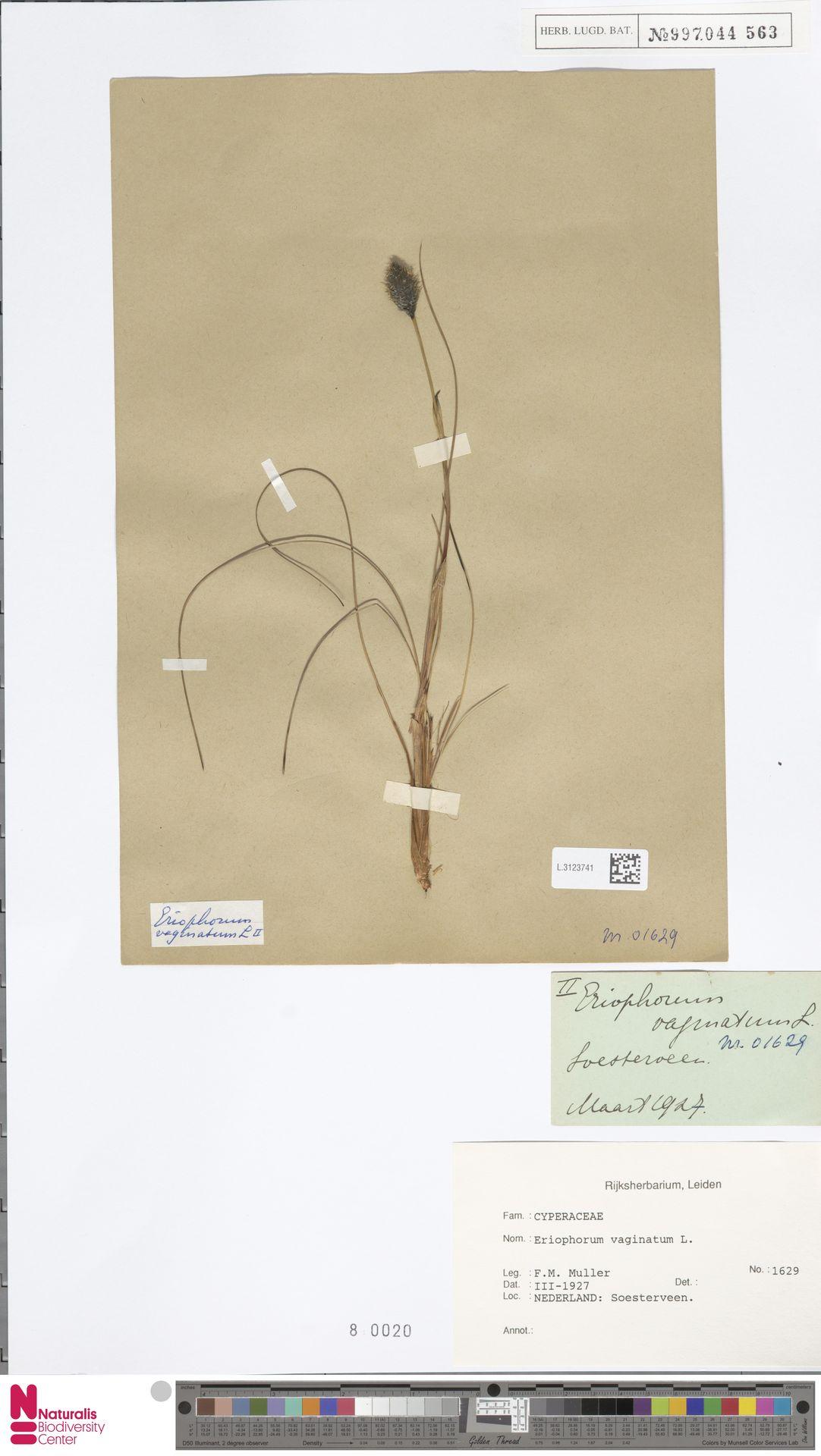 L.3123741 | Eriophorum vaginatum L.