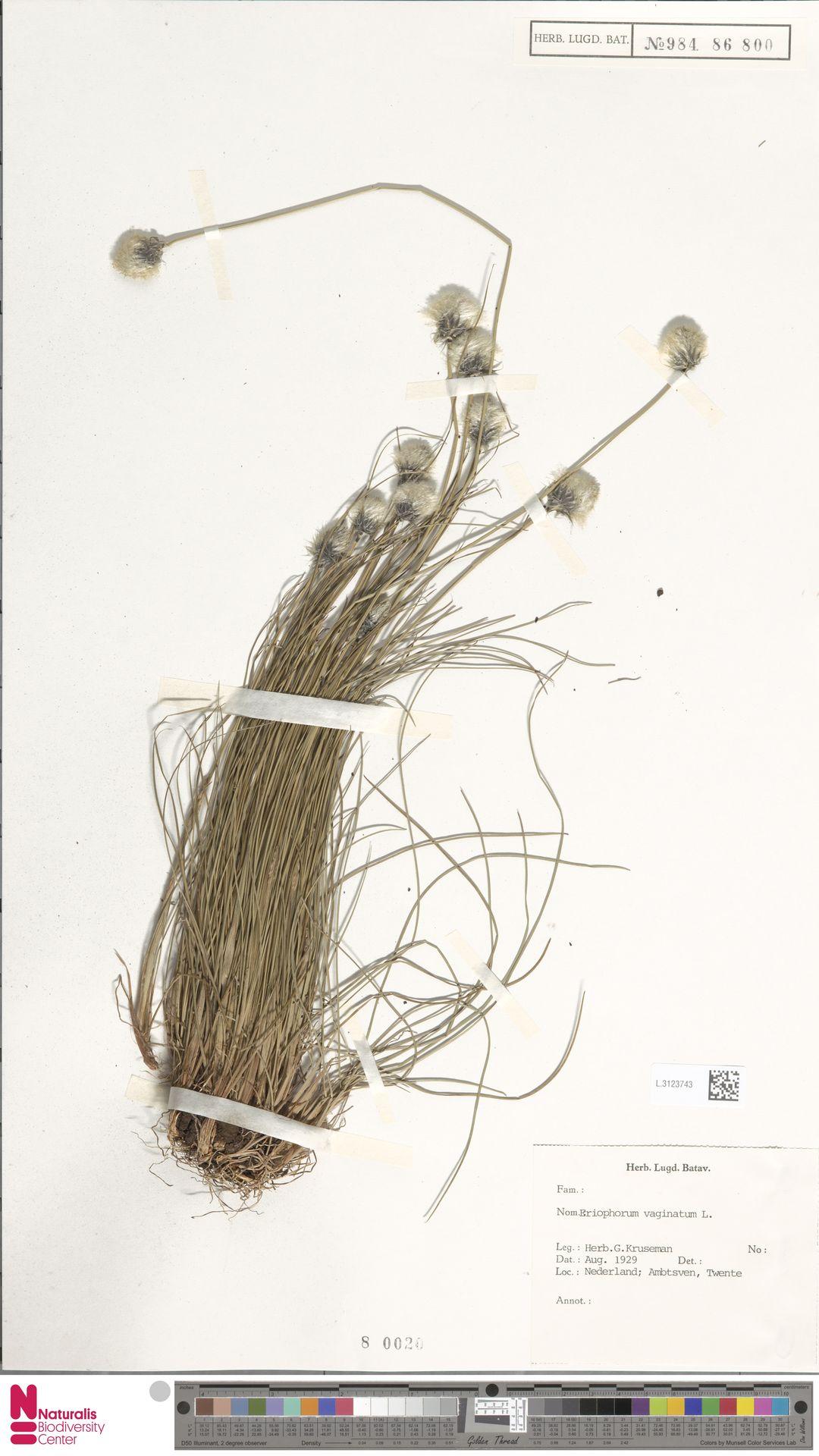 L.3123743 | Eriophorum vaginatum L.