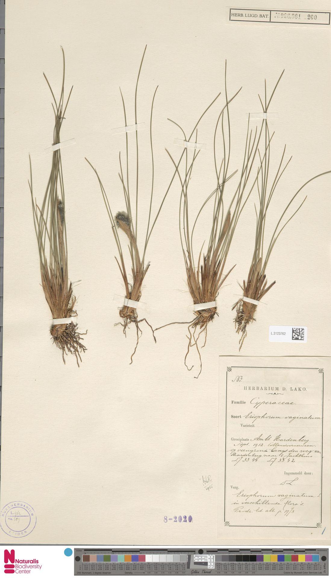 L.3123762   Eriophorum vaginatum L.