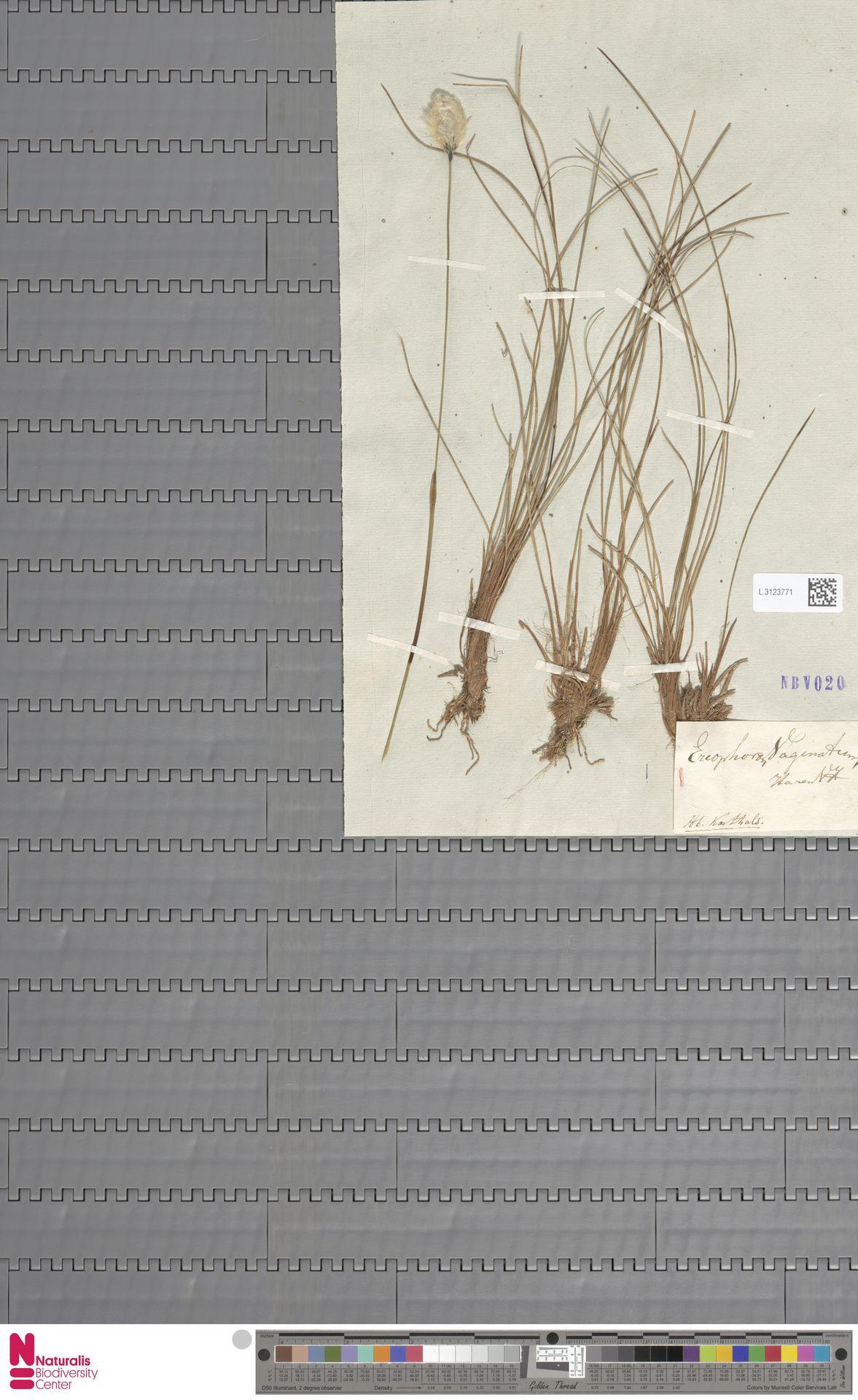 L.3123771 | Eriophorum vaginatum L.