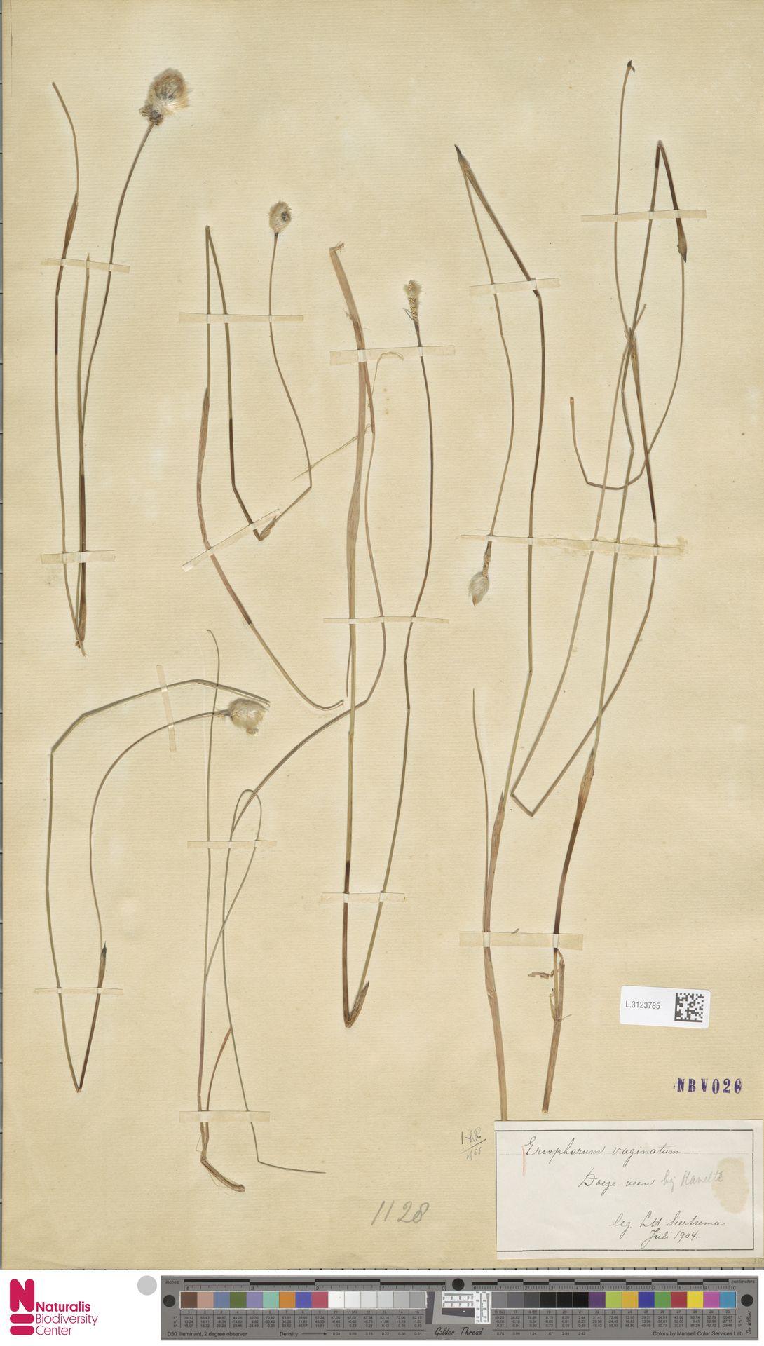 L.3123785   Eriophorum vaginatum L.