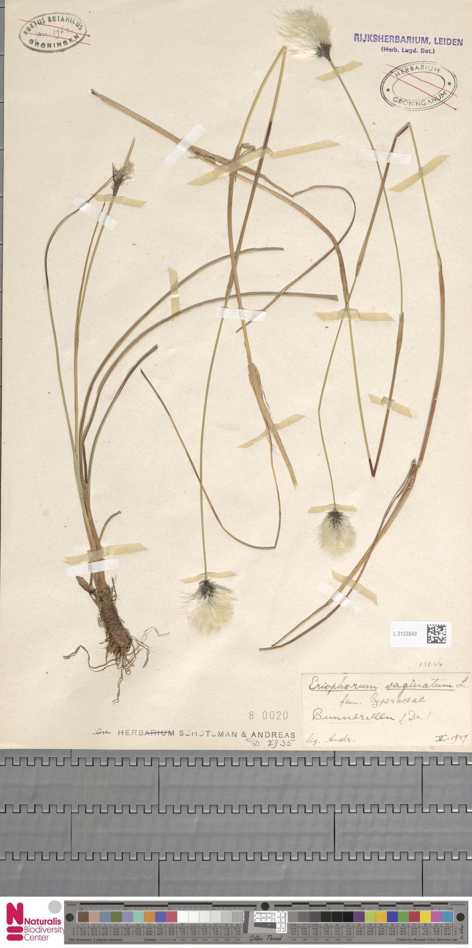 L.3123842   Eriophorum vaginatum L.