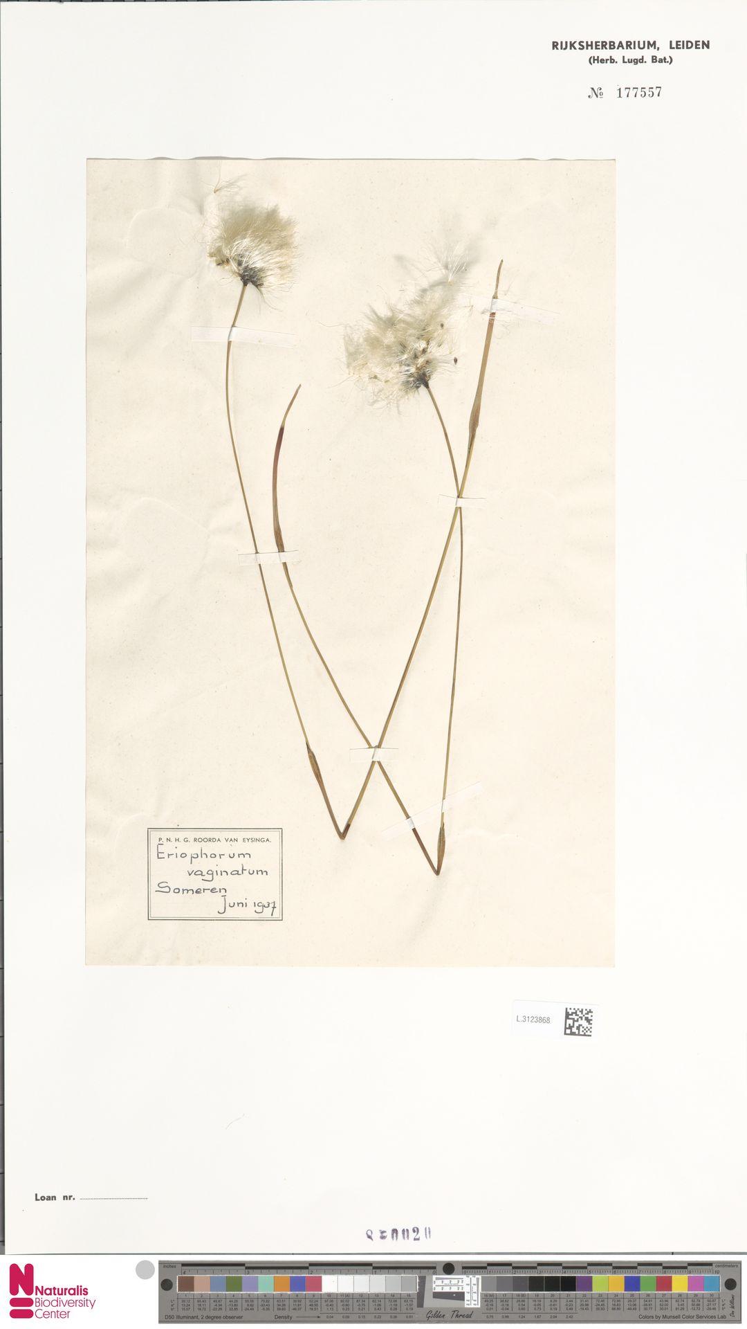 L.3123868   Eriophorum vaginatum L.