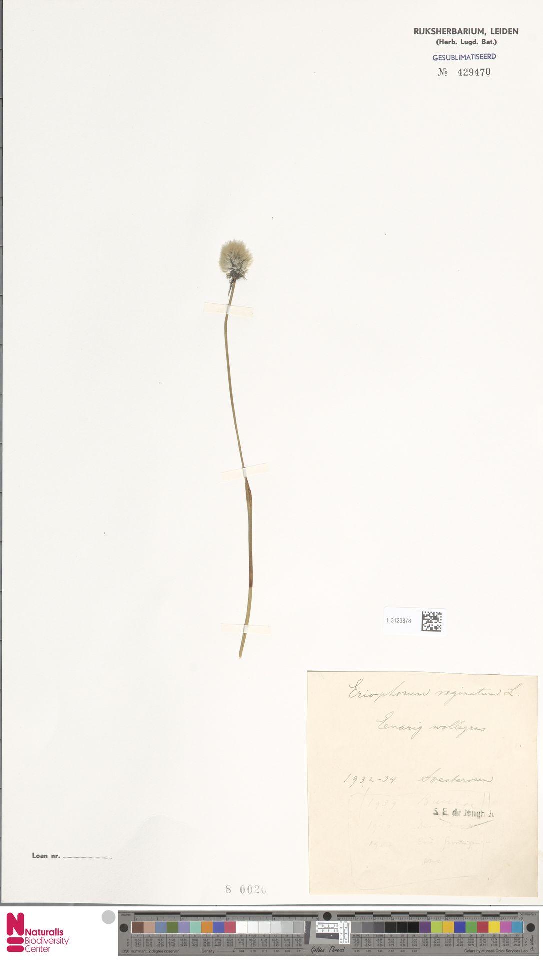 L.3123878 | Eriophorum vaginatum L.