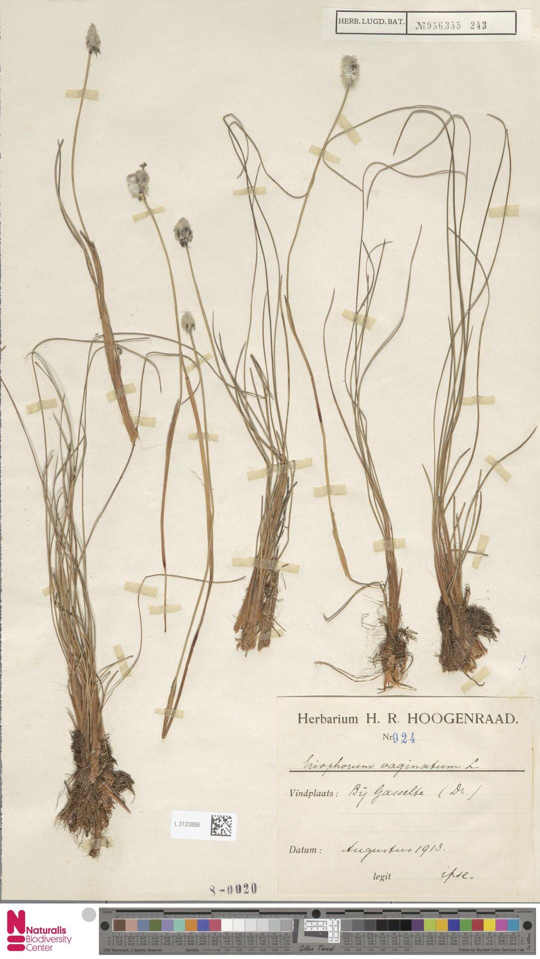 L.3123886   Eriophorum vaginatum L.