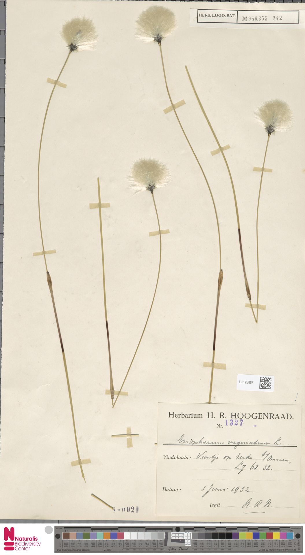 L.3123887 | Eriophorum vaginatum L.
