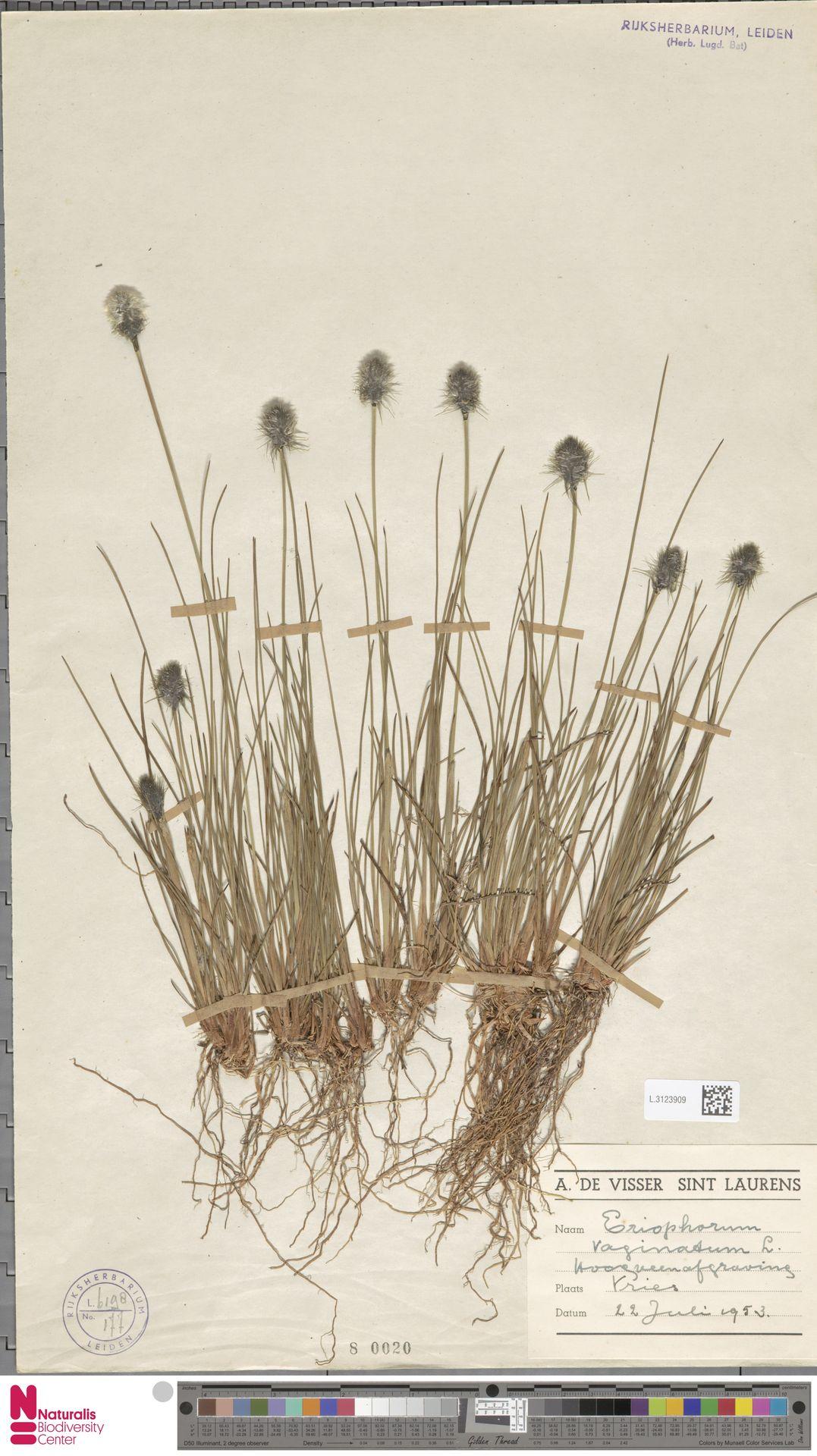 L.3123909   Eriophorum vaginatum L.