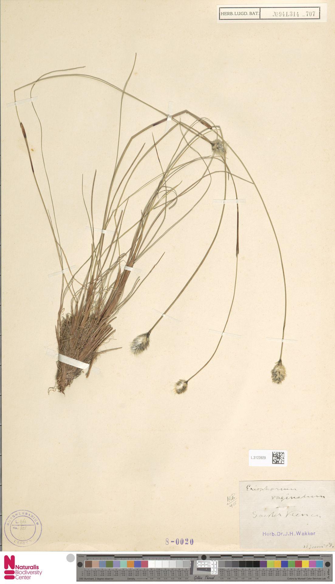 L.3123929 | Eriophorum vaginatum L.