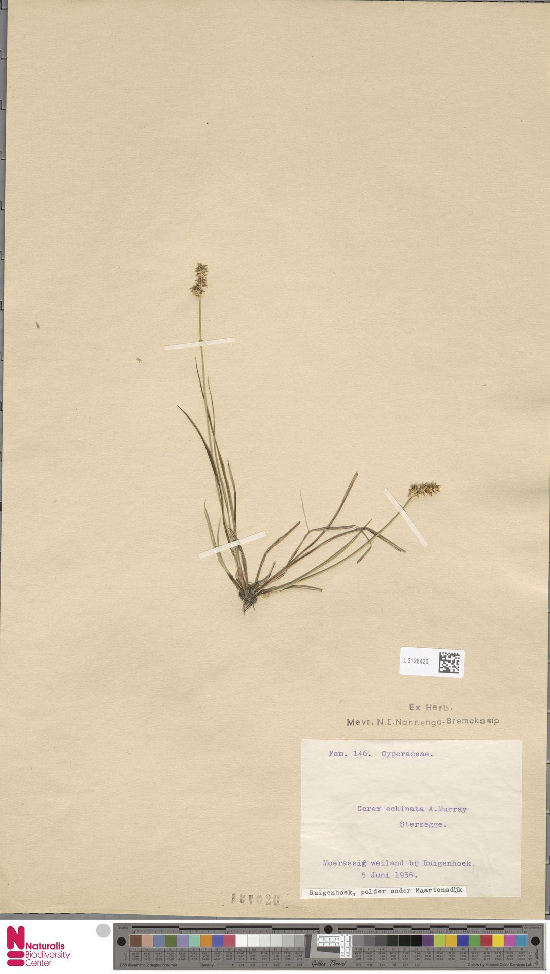 L.3128429 | Carex remota L.