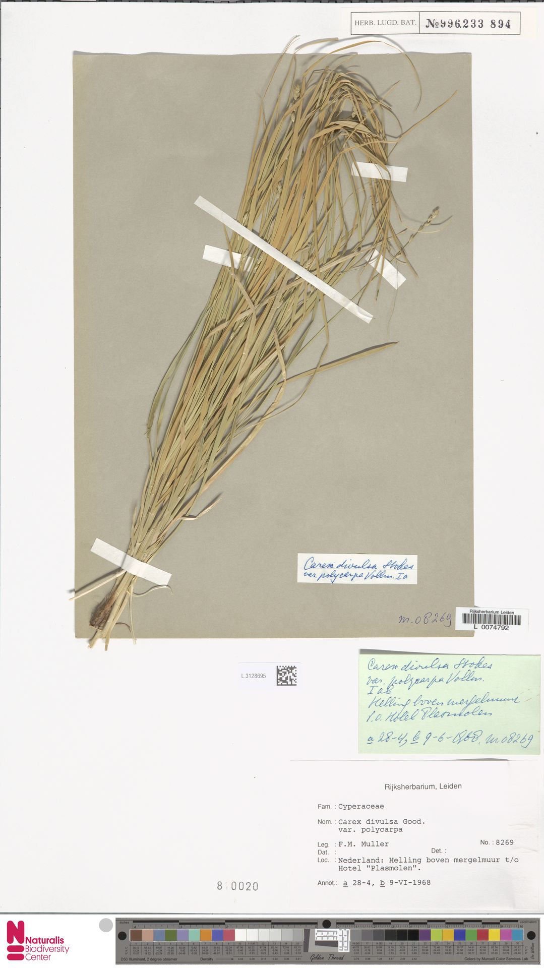 L.3128695 | Carex divulsa Stokes
