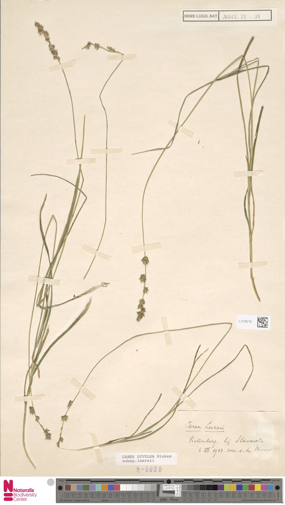L.3128776 | Carex divulsa Stokes
