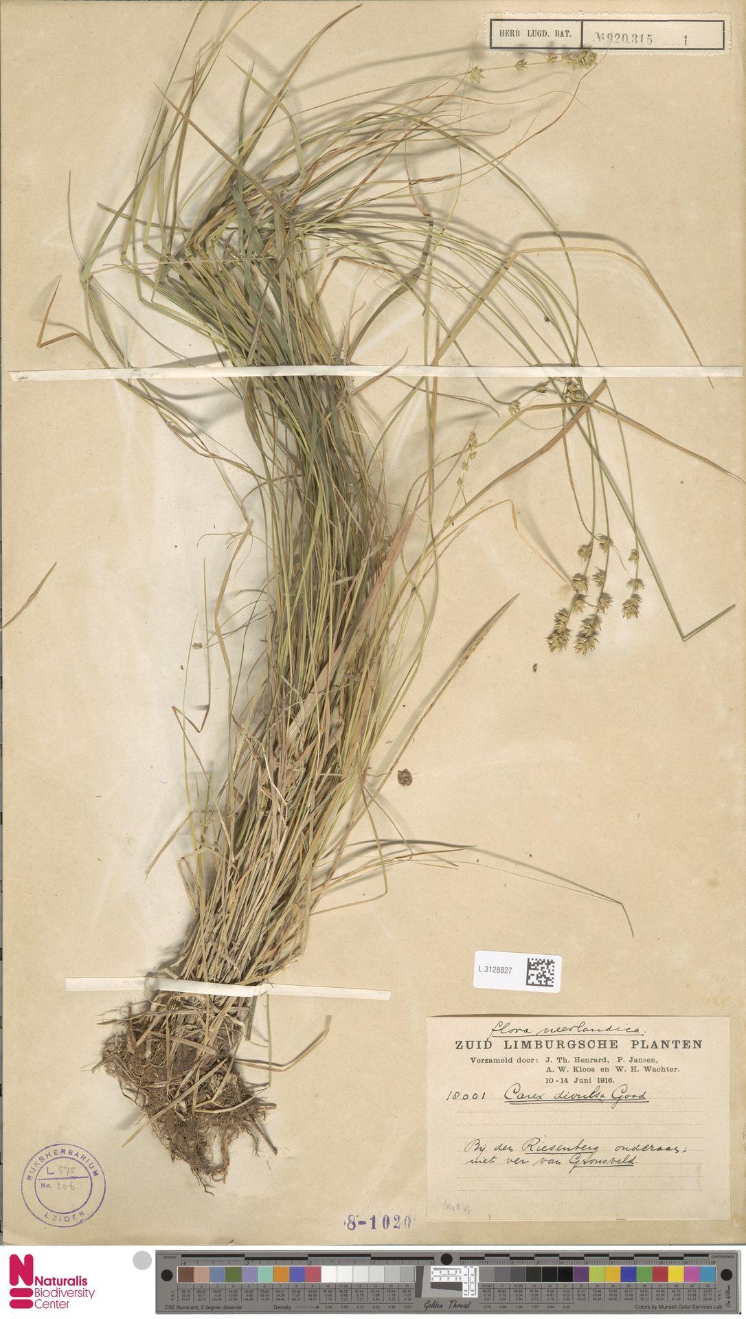 L.3128827 | Carex divulsa Stokes