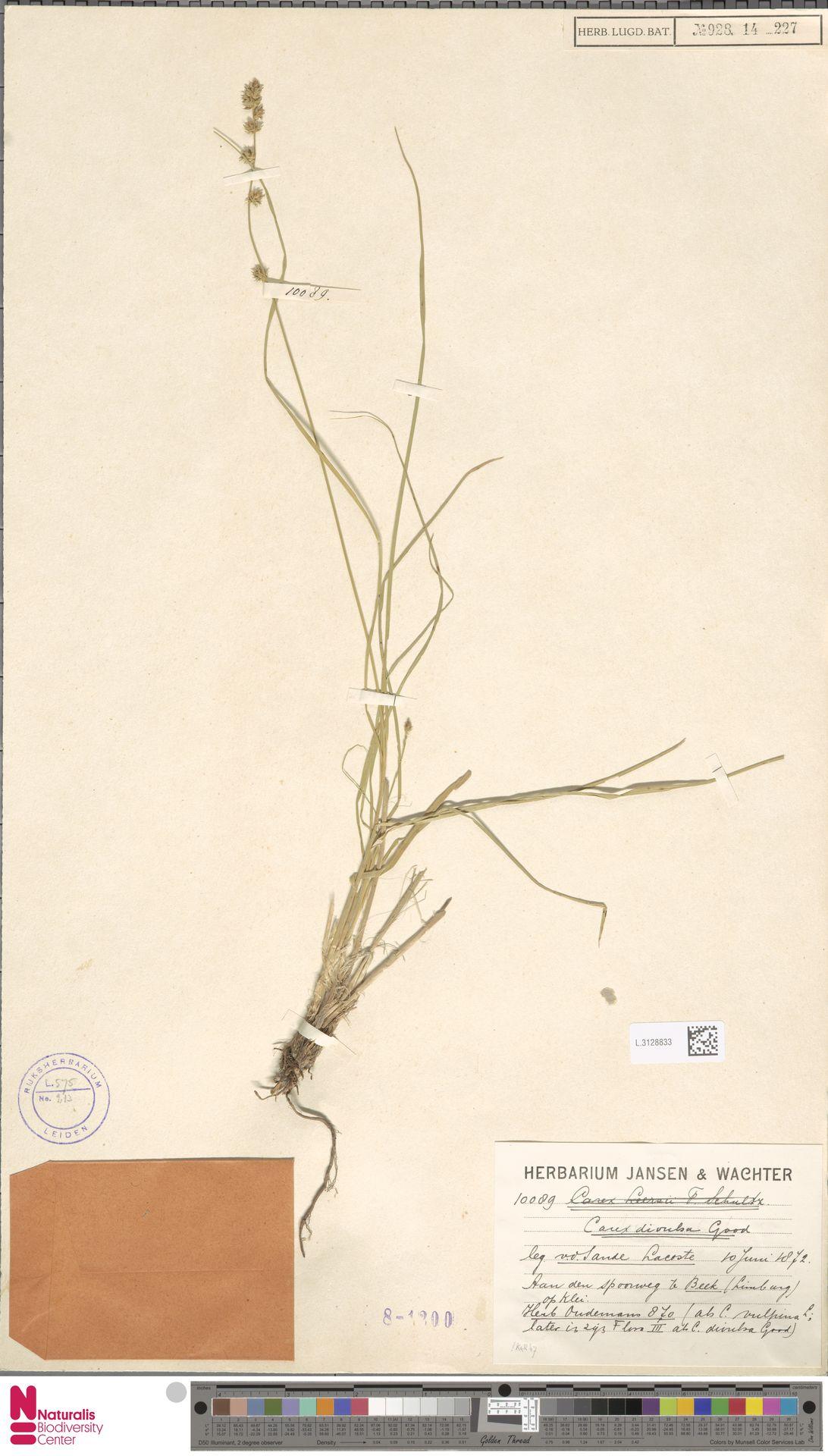L.3128833 | Carex divulsa Stokes