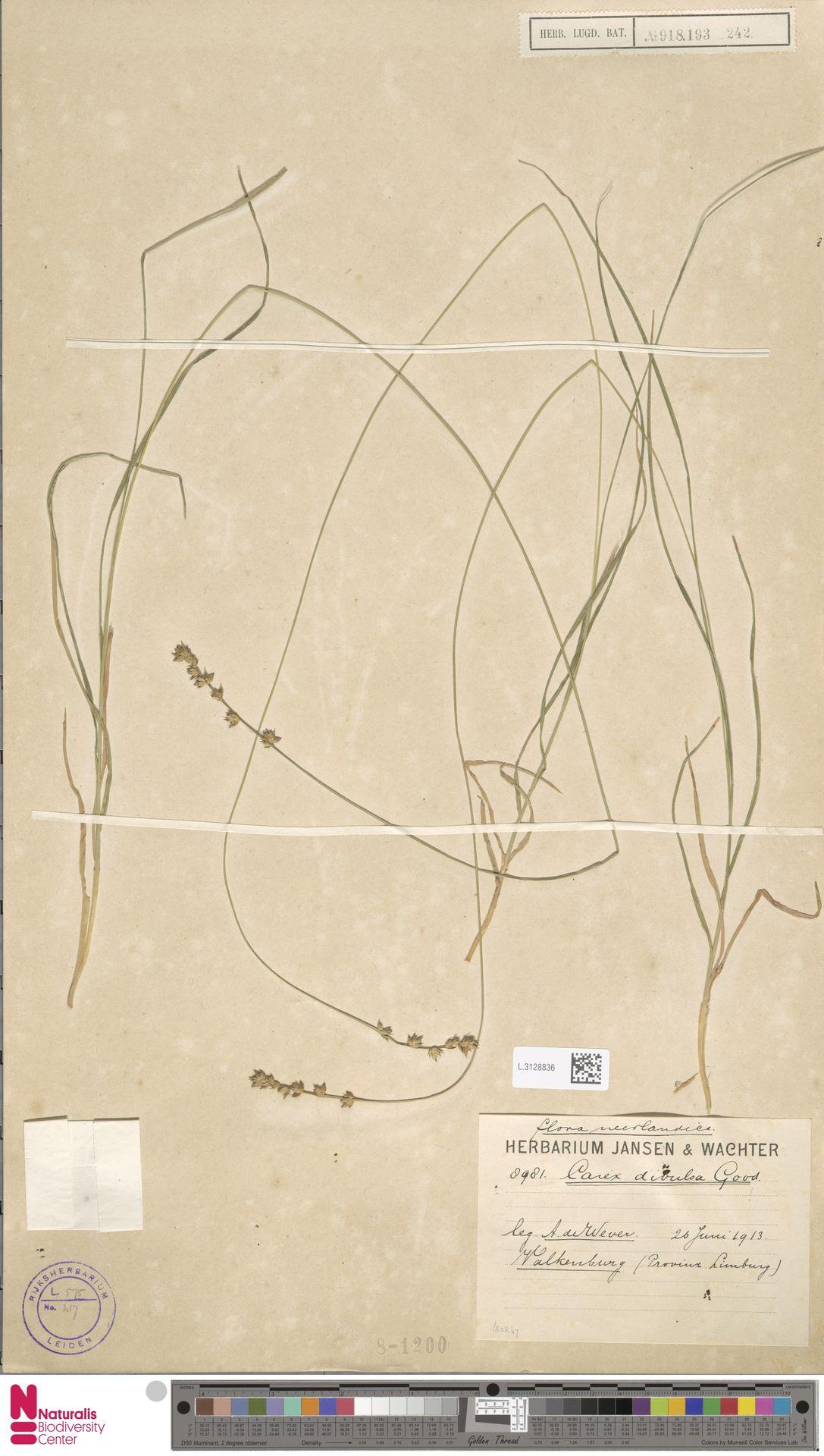 L.3128836 | Carex divulsa Stokes