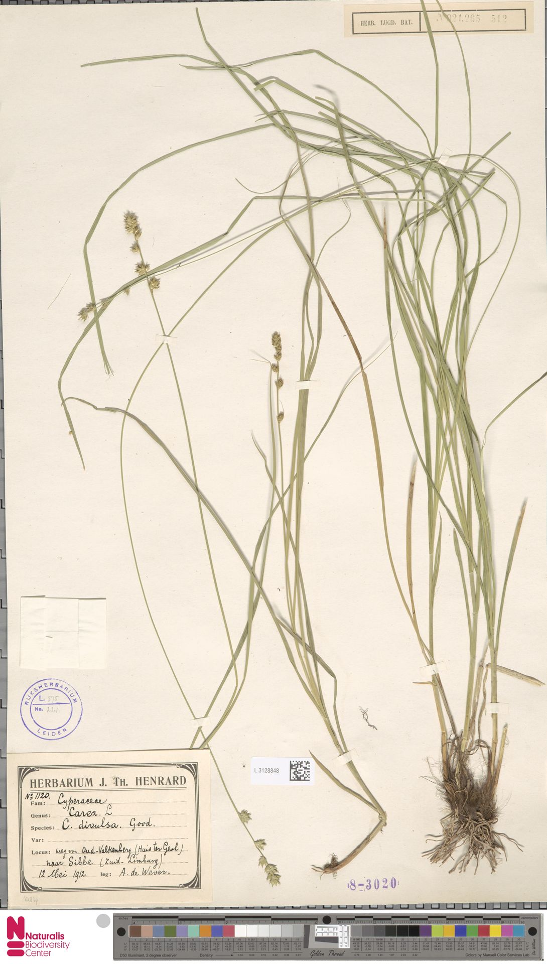 L.3128848   Carex divulsa Stokes