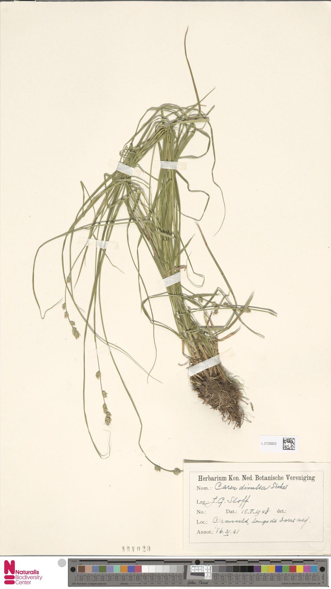 L.3128853 | Carex divulsa Stokes