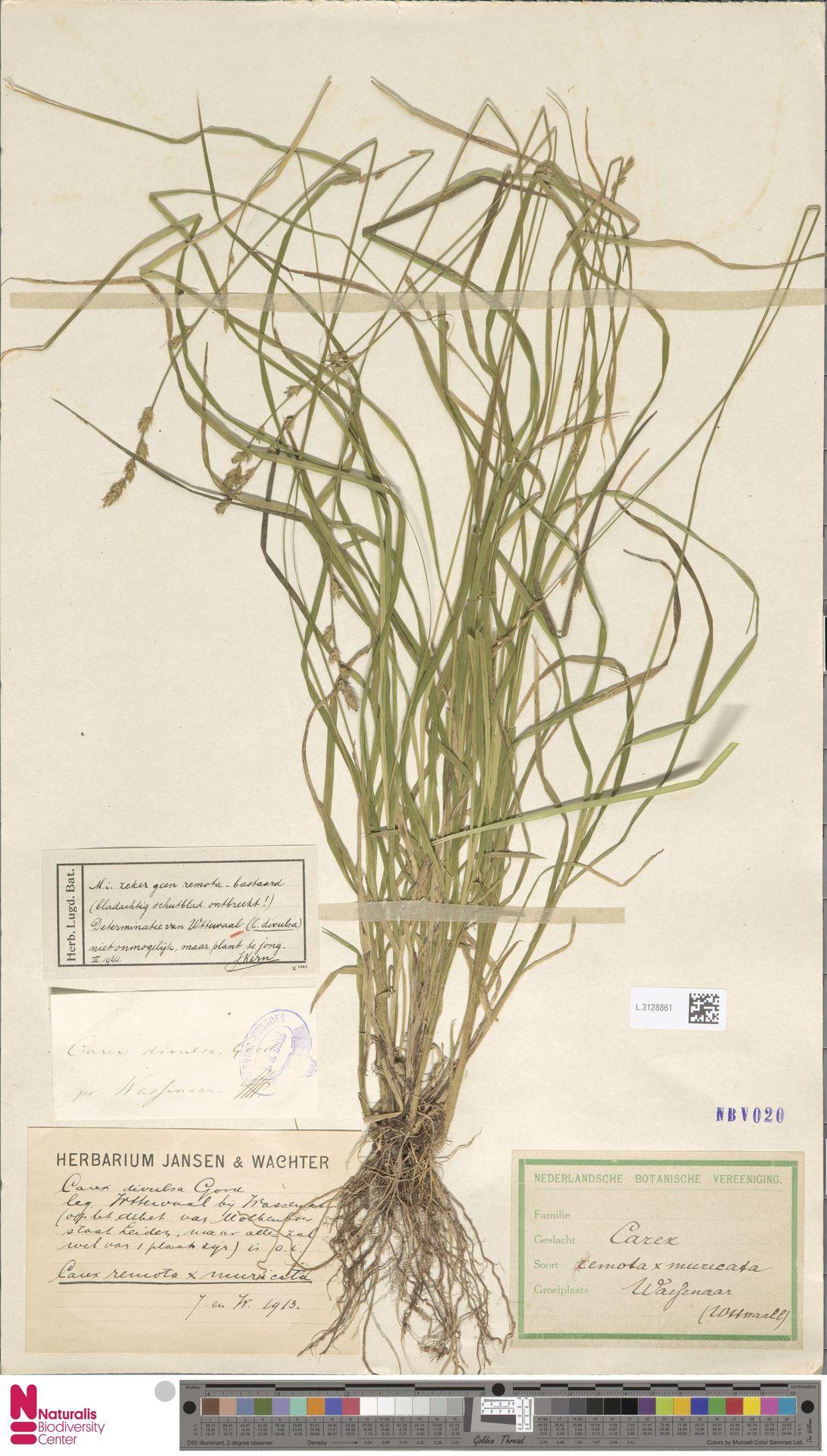 L.3128861 | Carex divulsa Stokes