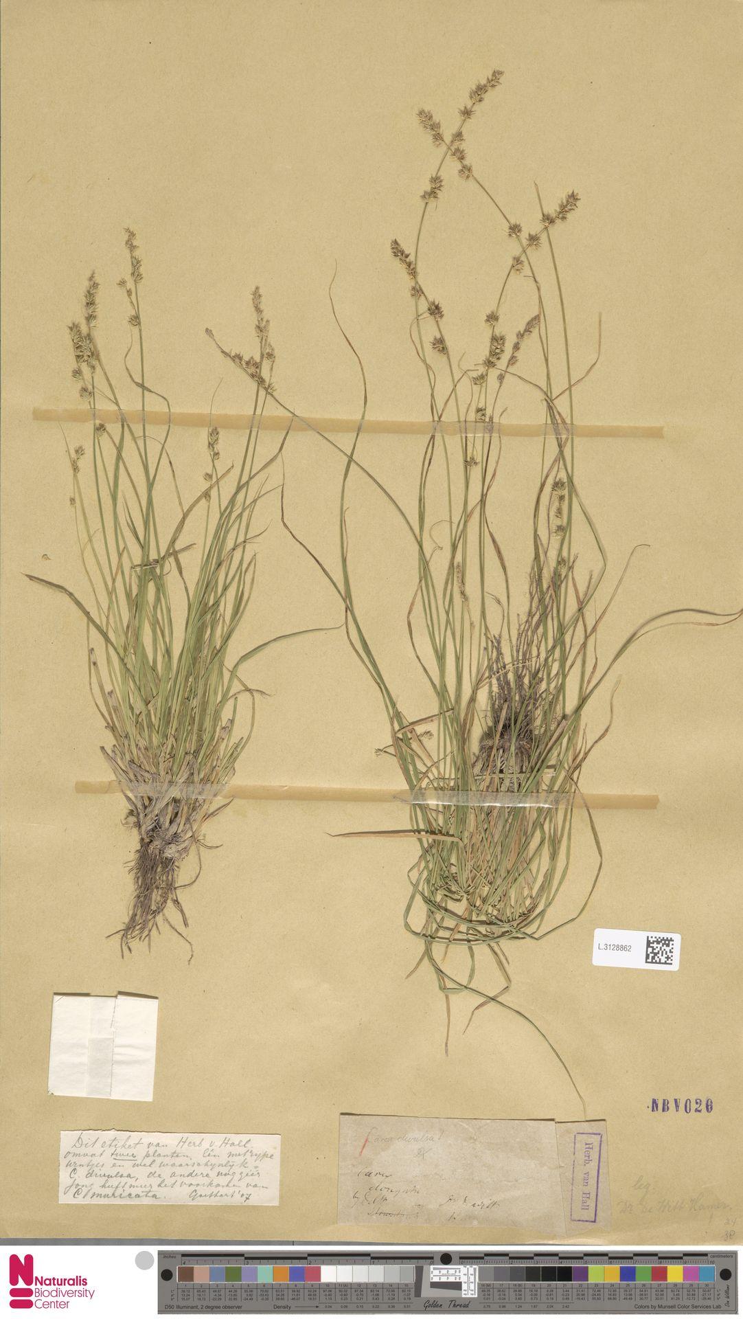 L.3128862 | Carex divulsa Stokes