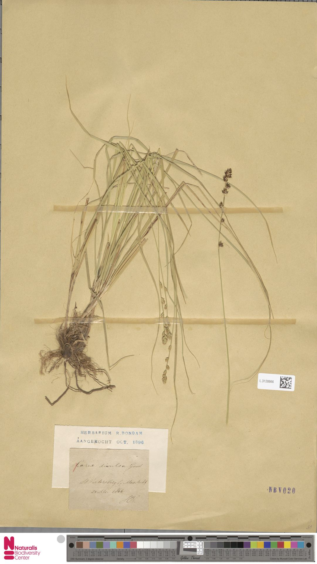 L.3128866   Carex divulsa Stokes