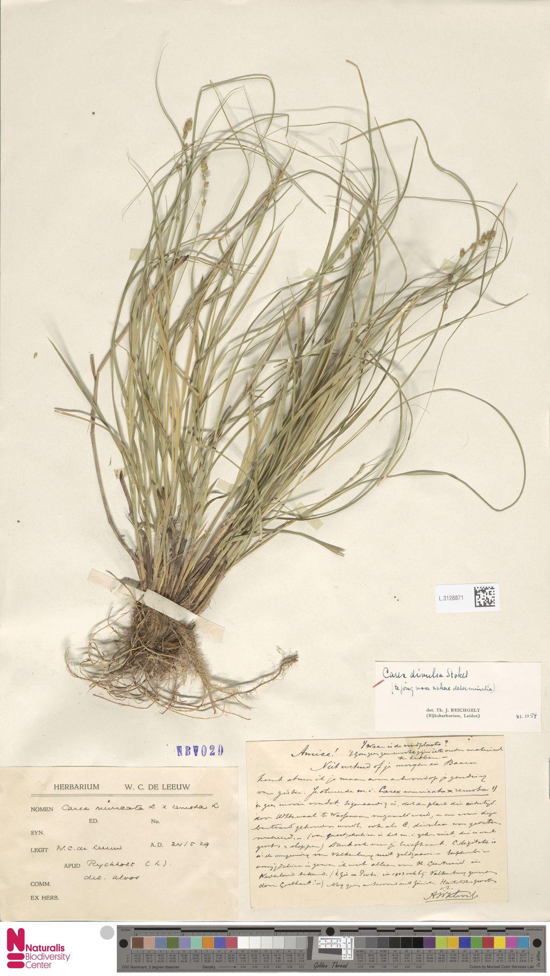 L.3128871 | Carex divulsa Stokes