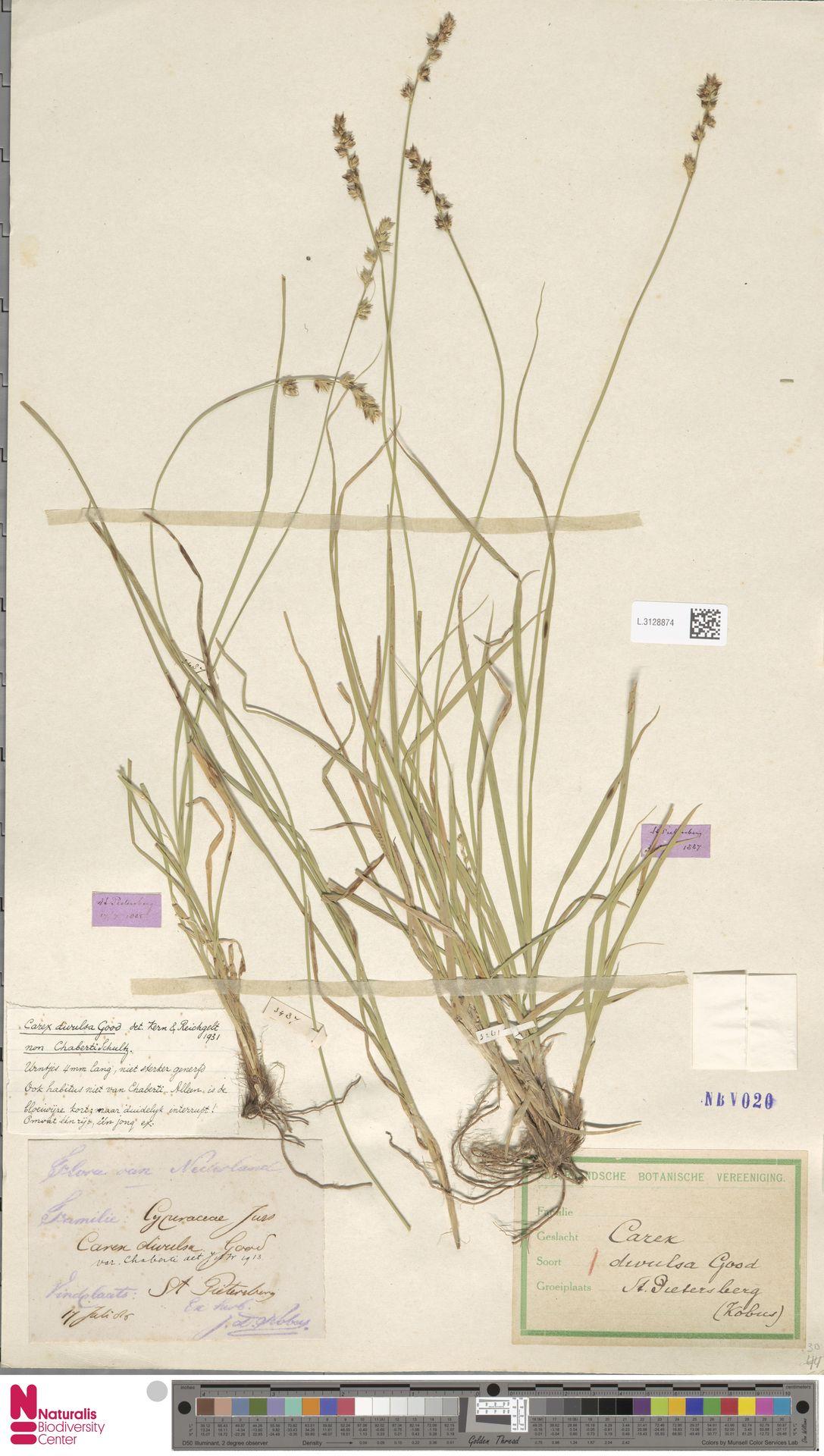 L.3128874 | Carex divulsa Stokes