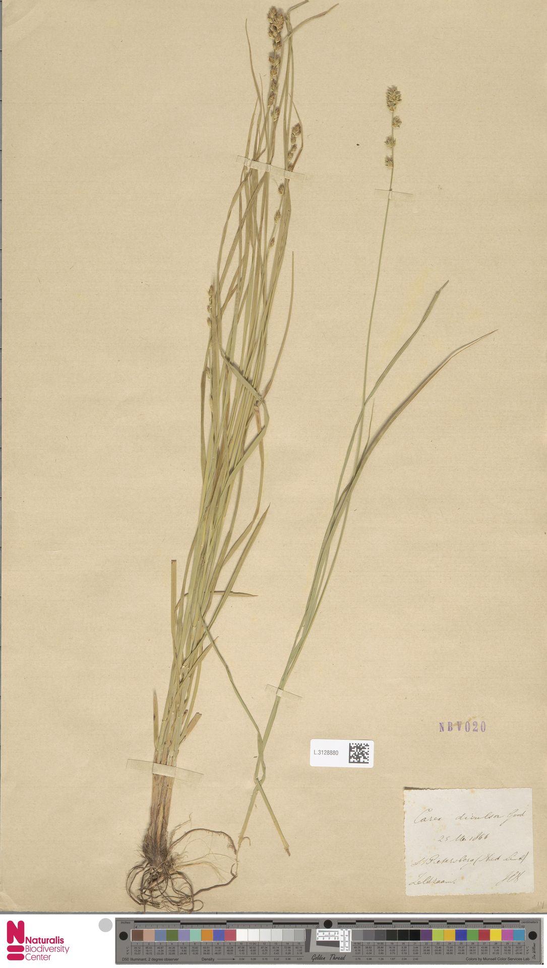 L.3128880   Carex divulsa Stokes