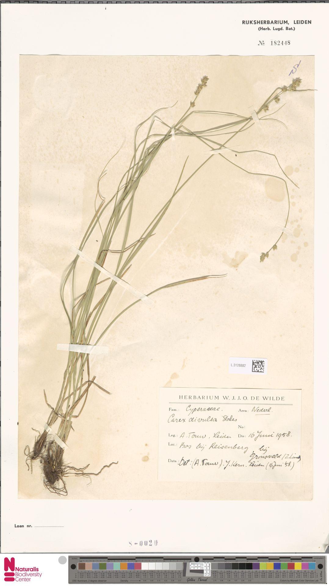 L.3128882 | Carex divulsa Stokes