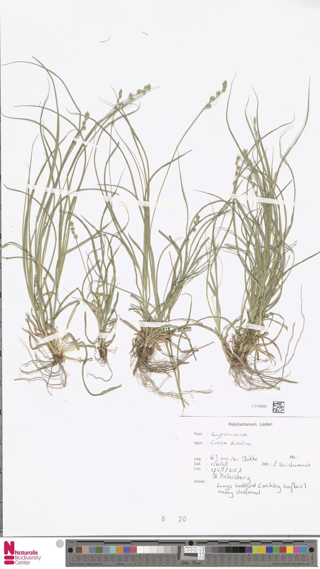 L.3128883 | Carex divulsa Stokes