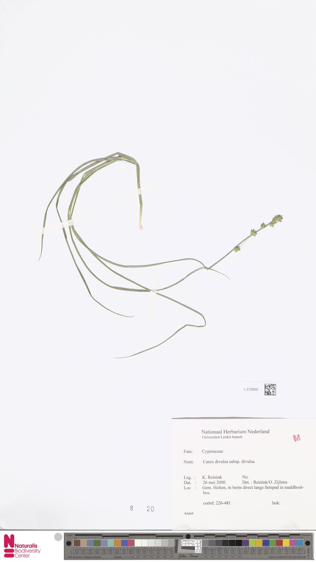 L.3128892 | Carex divulsa Stokes