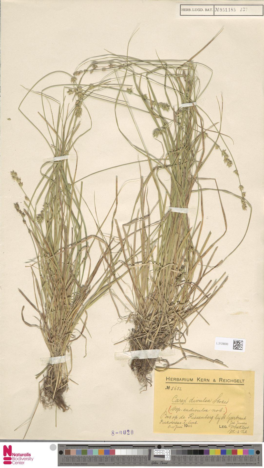 L.3128930 | Carex divulsa Stokes
