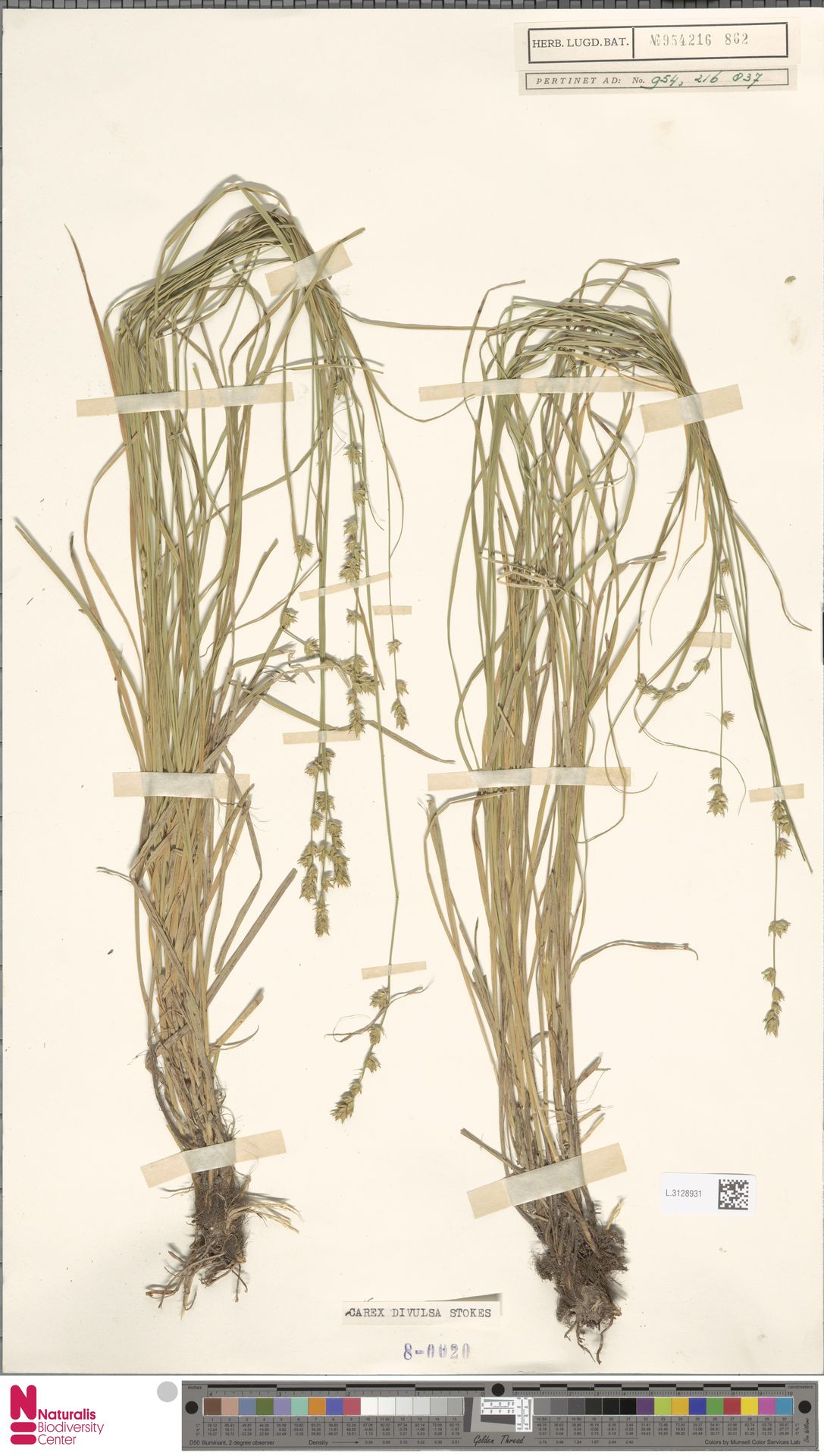 L.3128931 | Carex divulsa Stokes