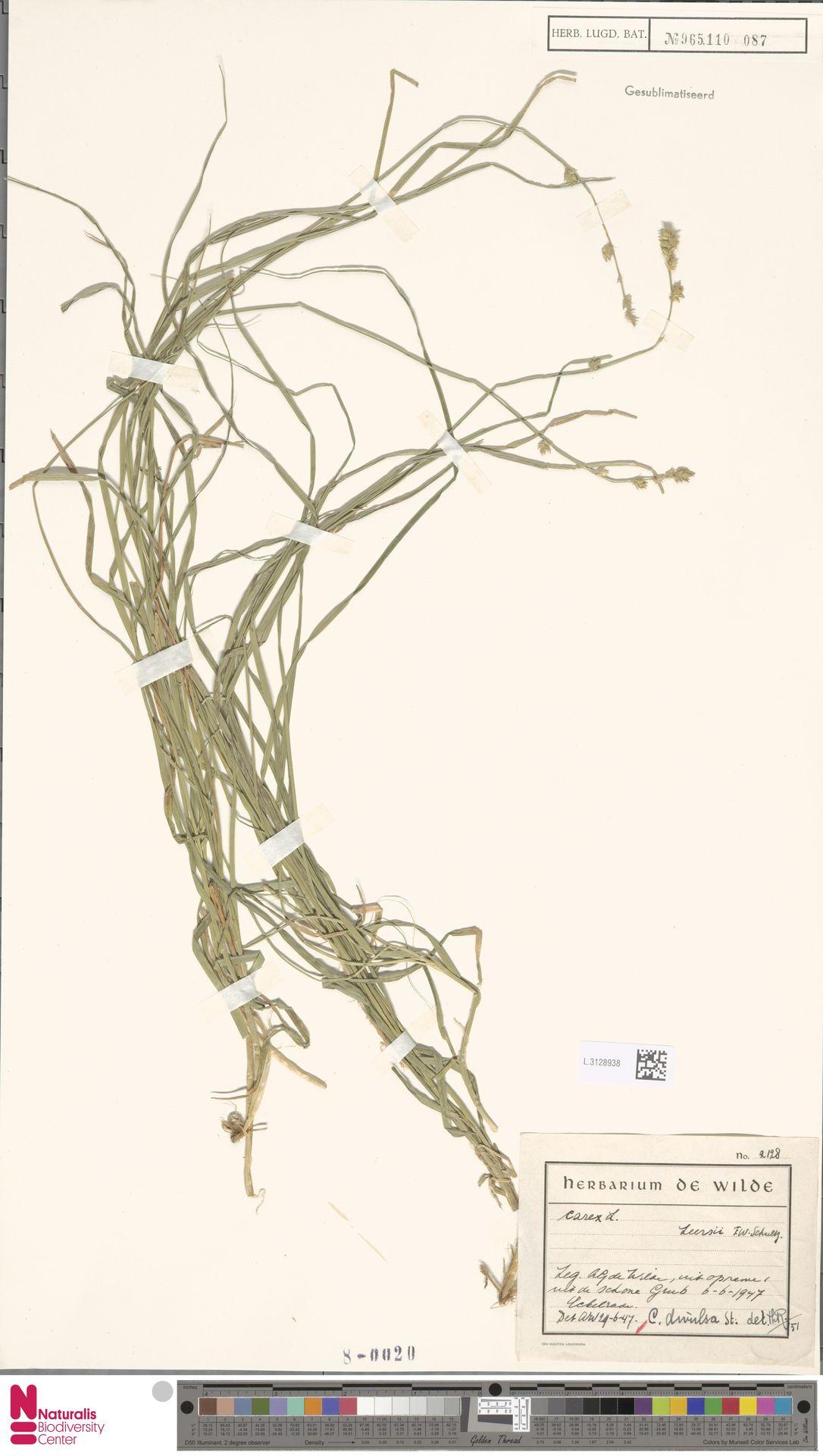 L.3128938 | Carex divulsa Stokes