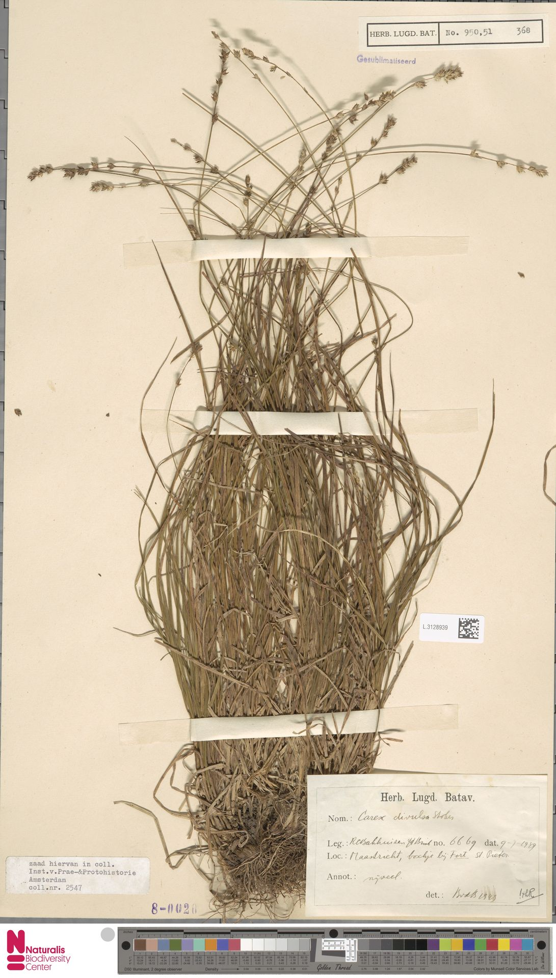 L.3128939 | Carex divulsa Stokes