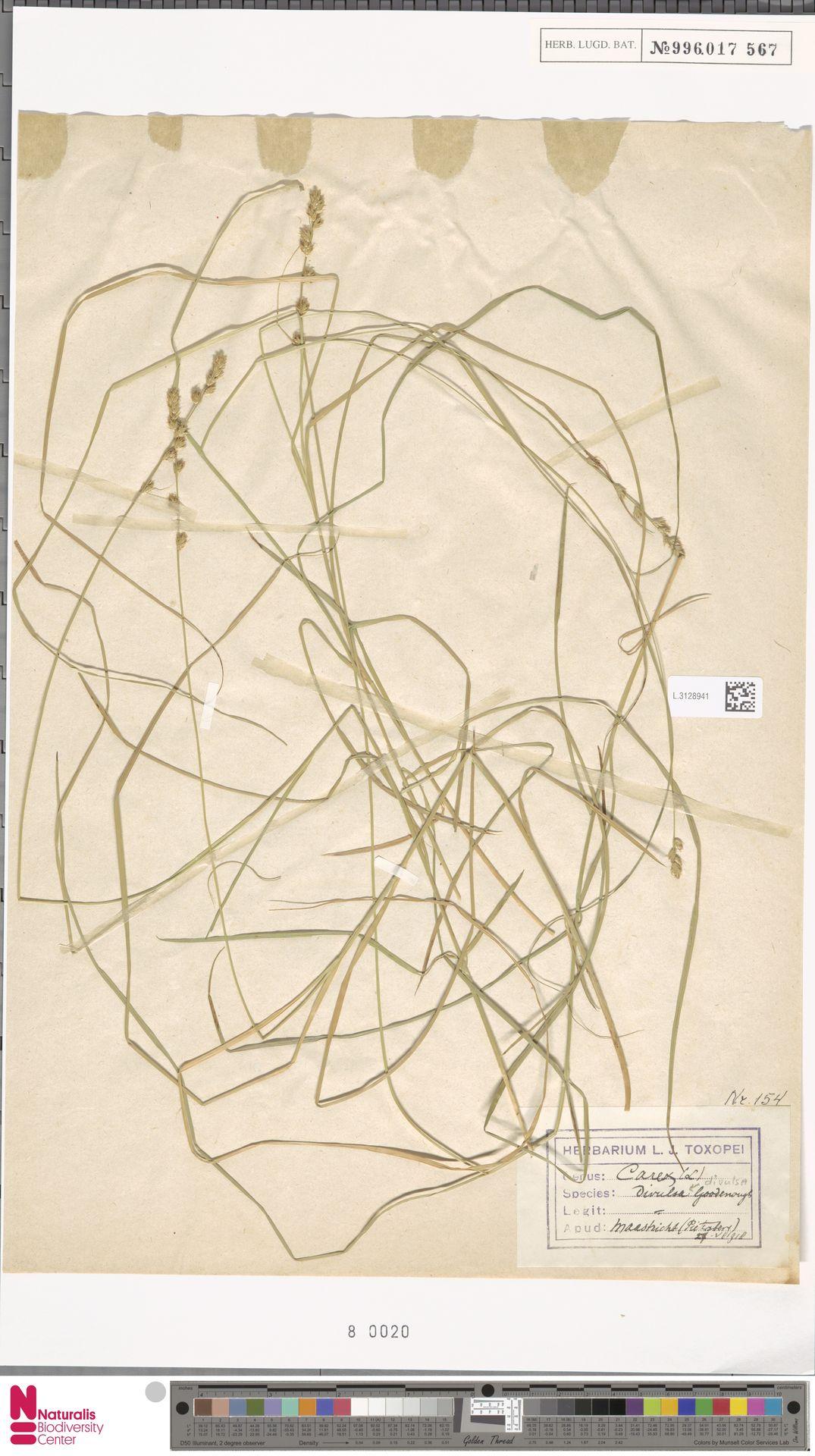 L.3128941 | Carex divulsa Stokes
