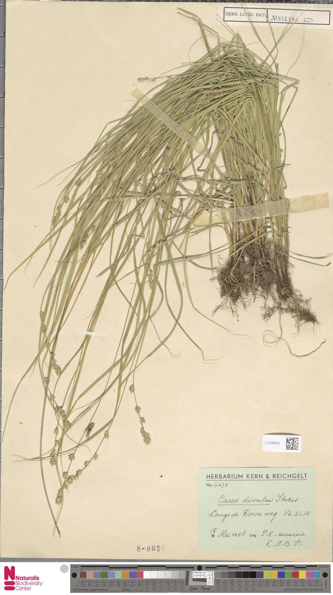 L.3128945 | Carex divulsa Stokes