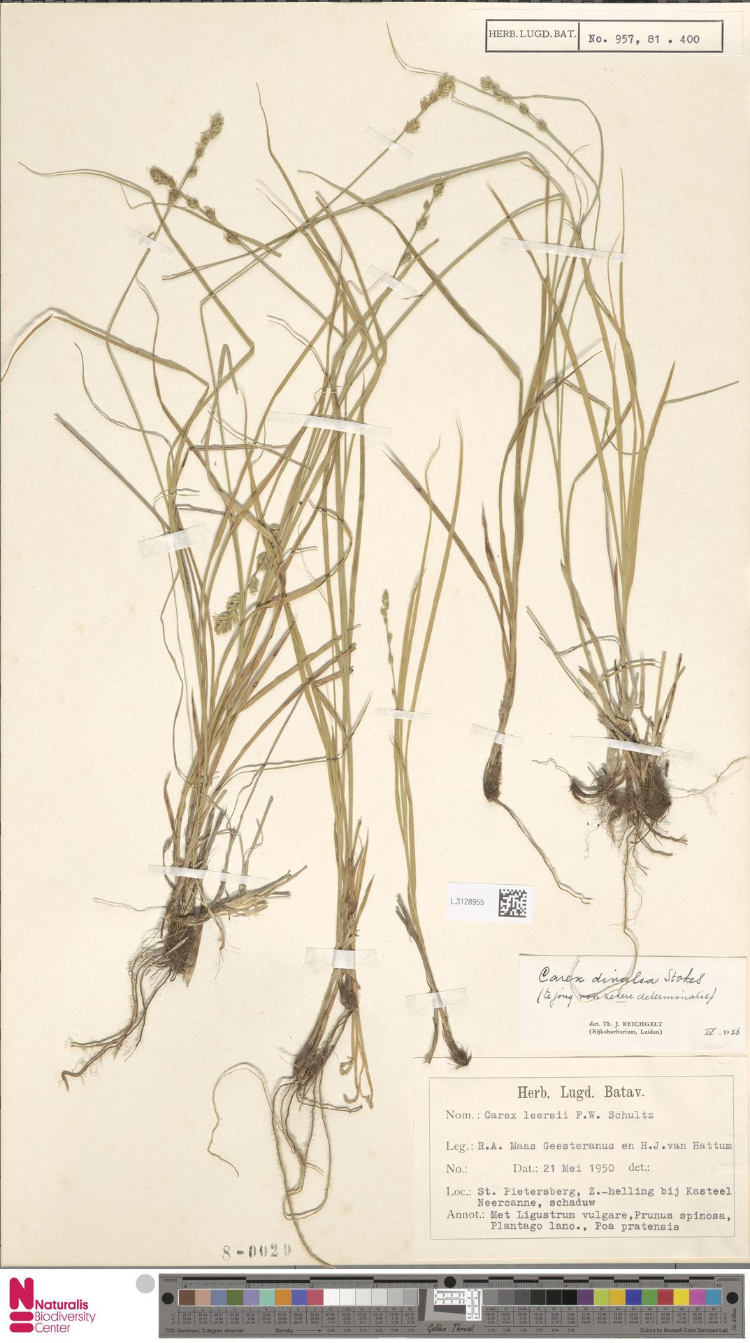 L.3128955 | Carex divulsa Stokes