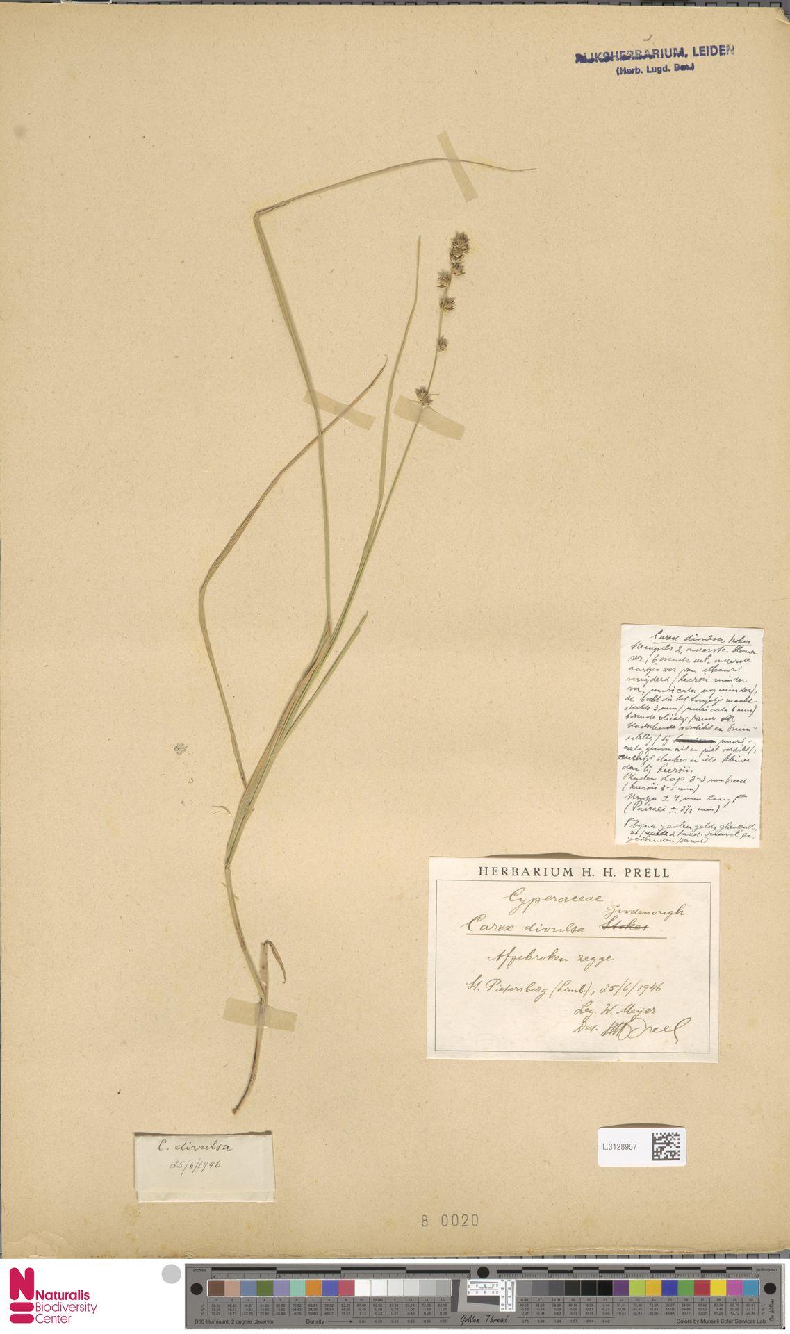 L.3128957 | Carex divulsa Stokes