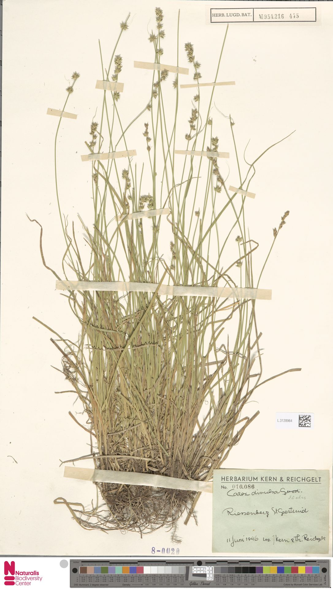 L.3128964 | Carex divulsa Stokes
