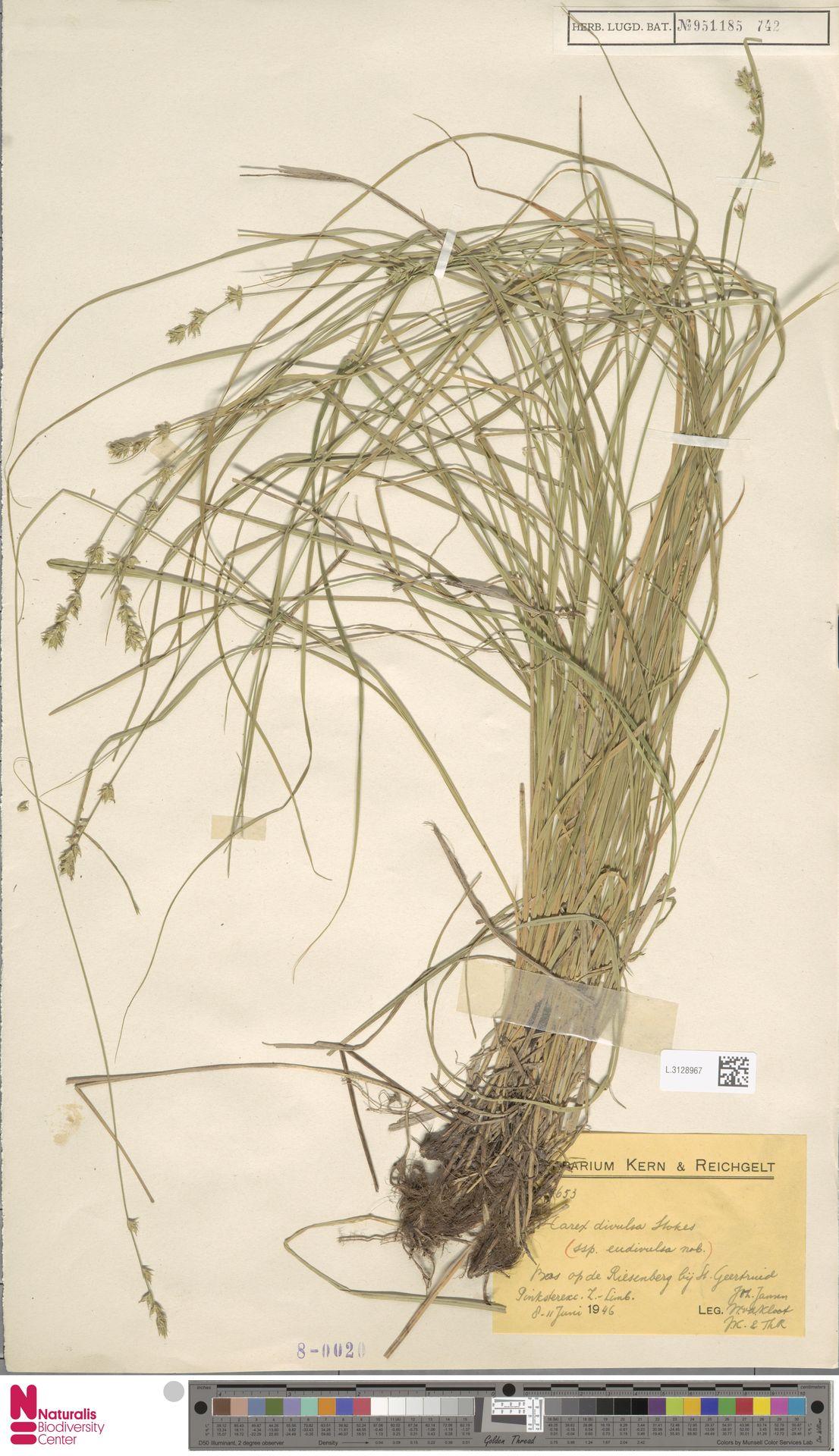 L.3128967 | Carex divulsa Stokes