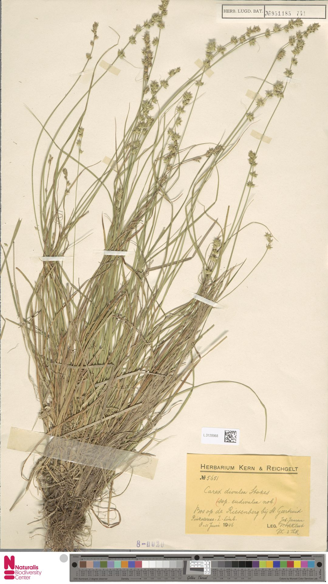 L.3128968 | Carex divulsa Stokes