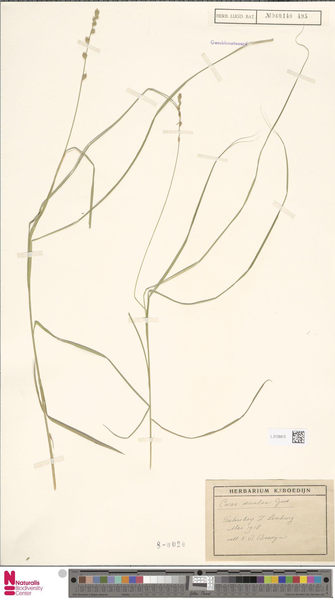 L.3128973 | Carex divulsa Stokes