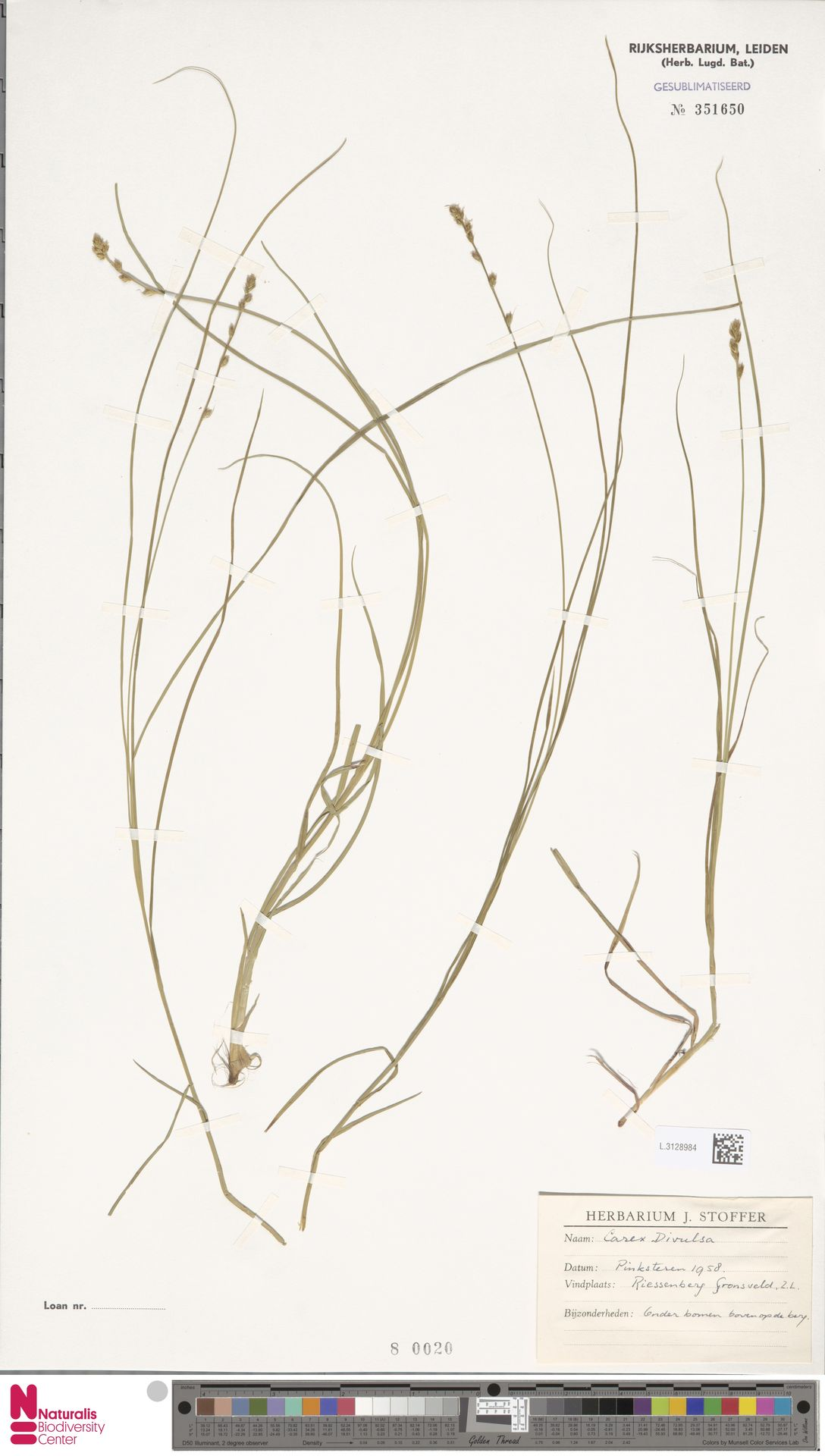 L.3128984 | Carex divulsa Stokes