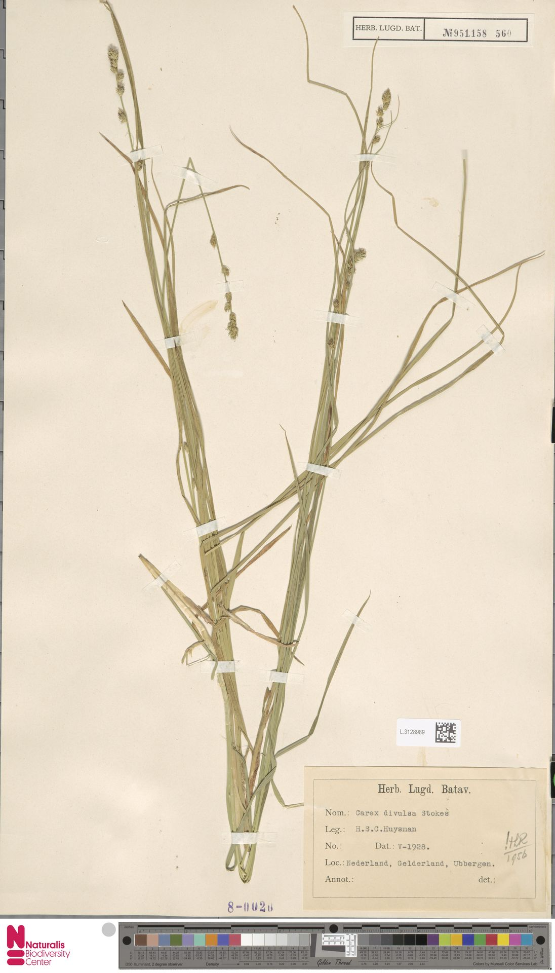 L.3128989 | Carex divulsa Stokes