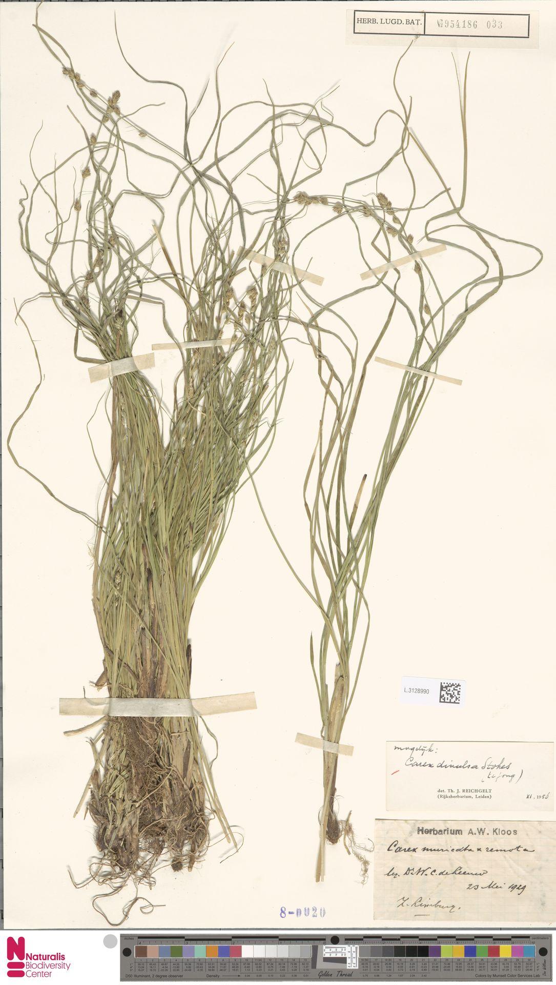 L.3128990 | Carex divulsa Stokes