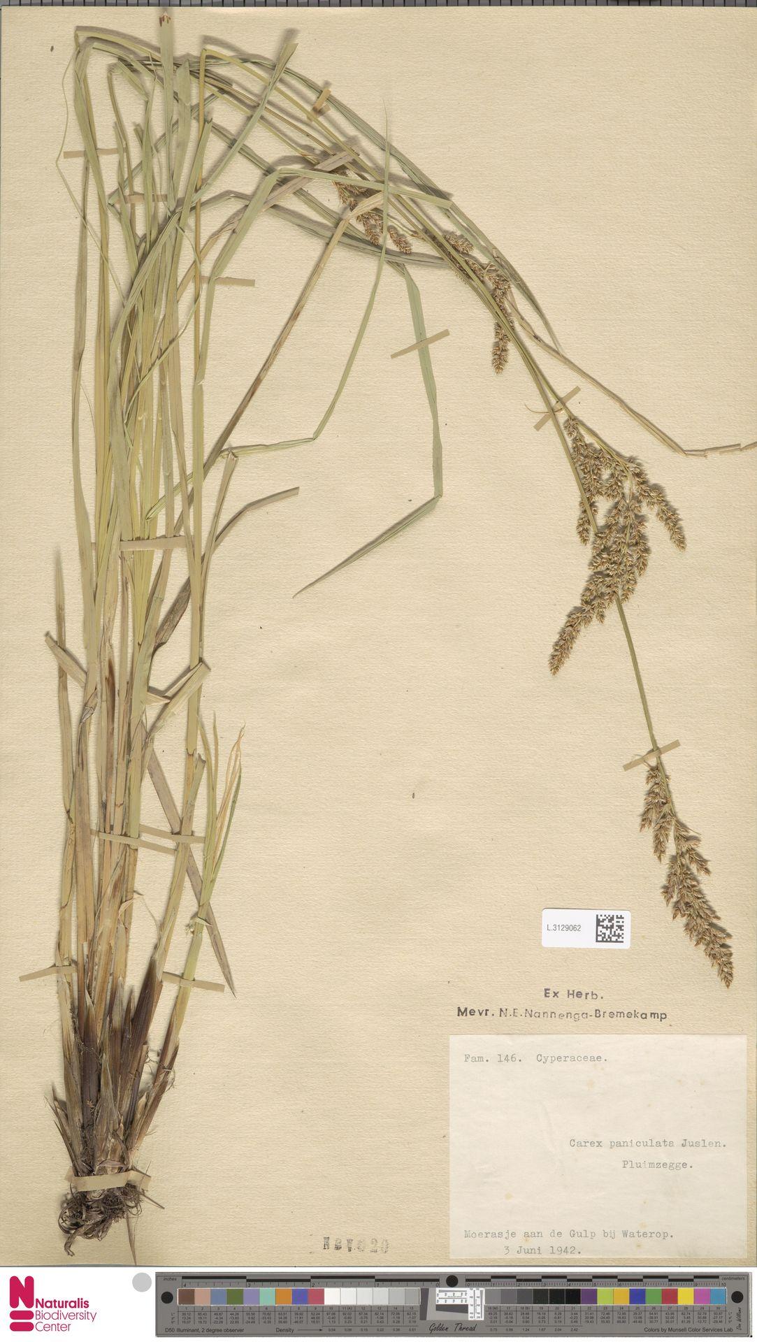 L.3129062 | Carex remota L.