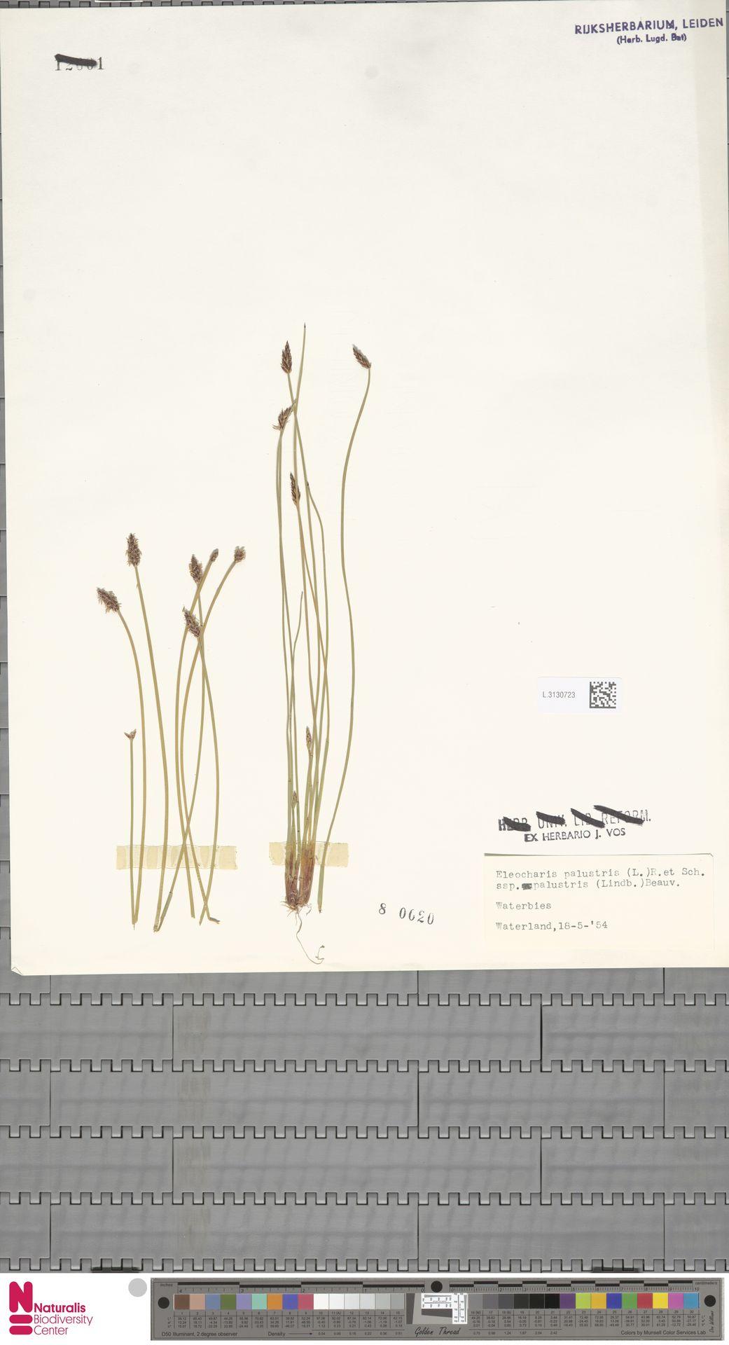 L.3130723 | Eleocharis palustris subsp. palustris