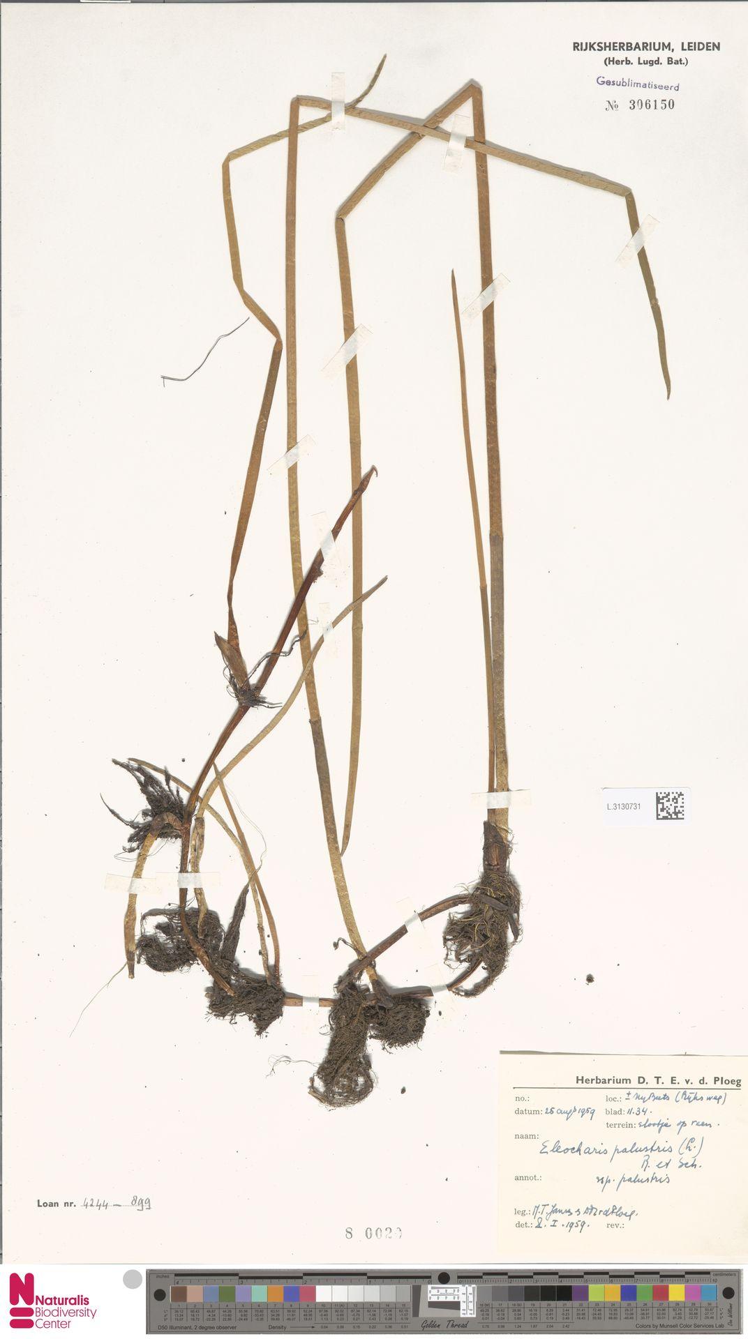 L.3130731 | Eleocharis palustris subsp. palustris